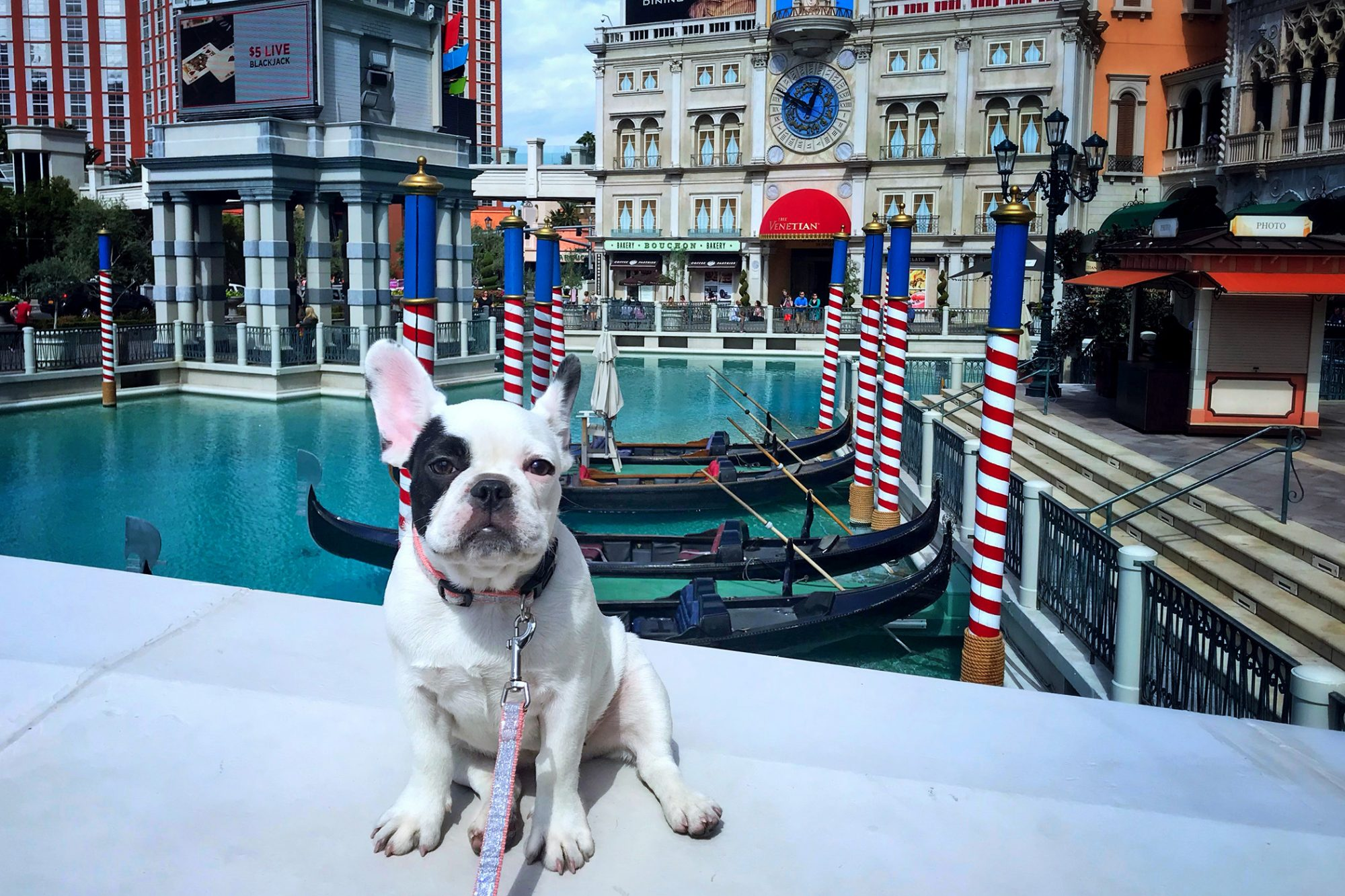 French Bulldog at the America's Venetian in Las Vegas
