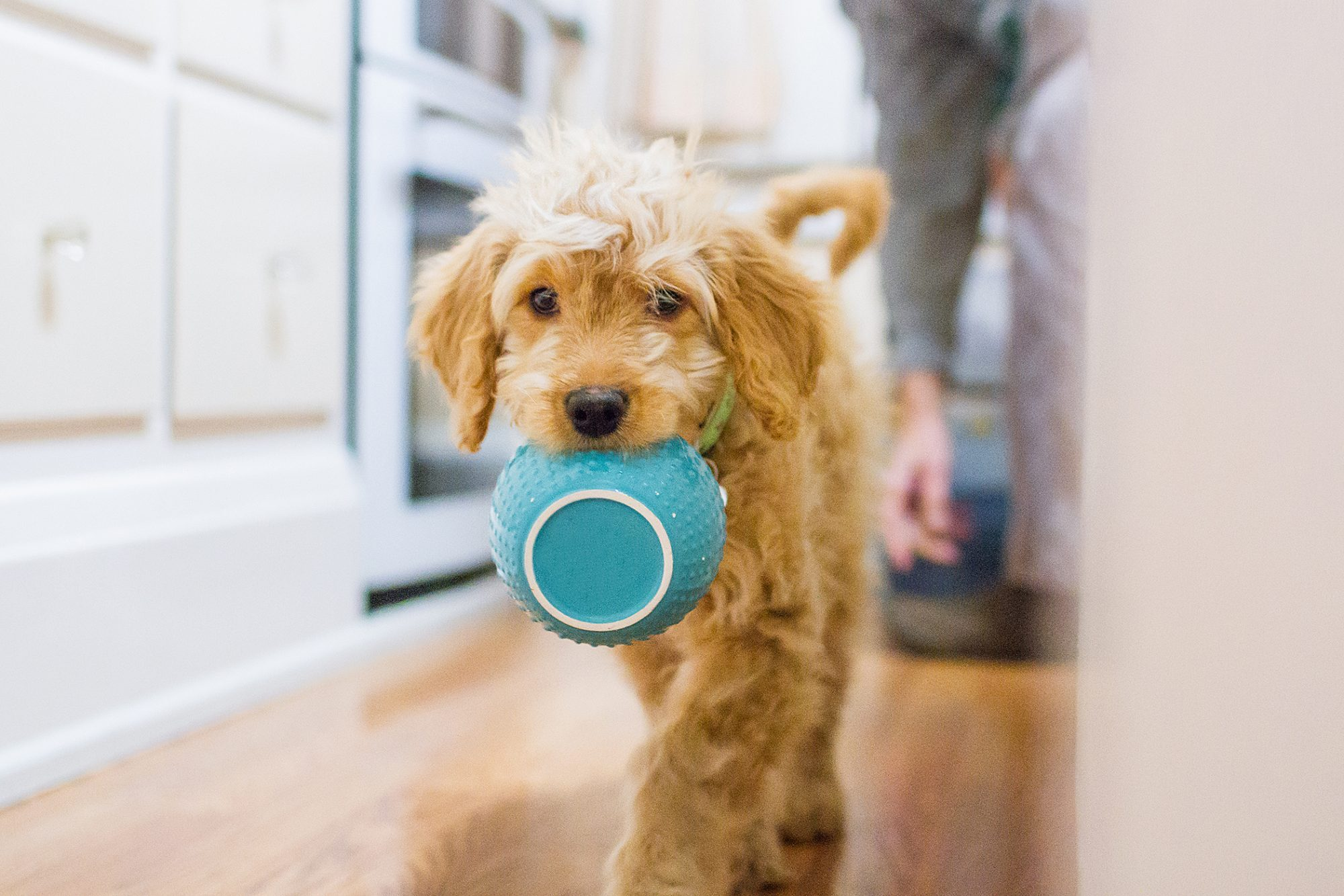 Goldendoodle carrying a blue bowl in his mouth