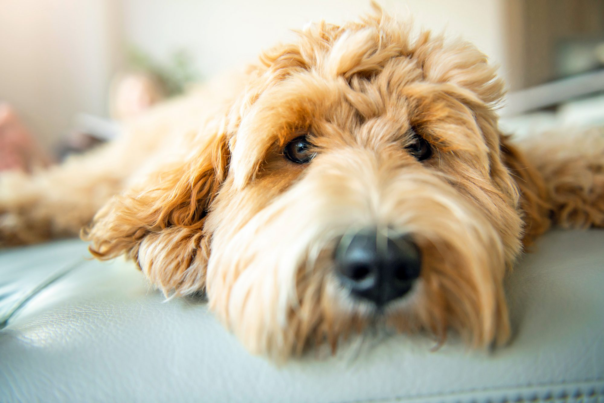 close up of Goldendoodle's face