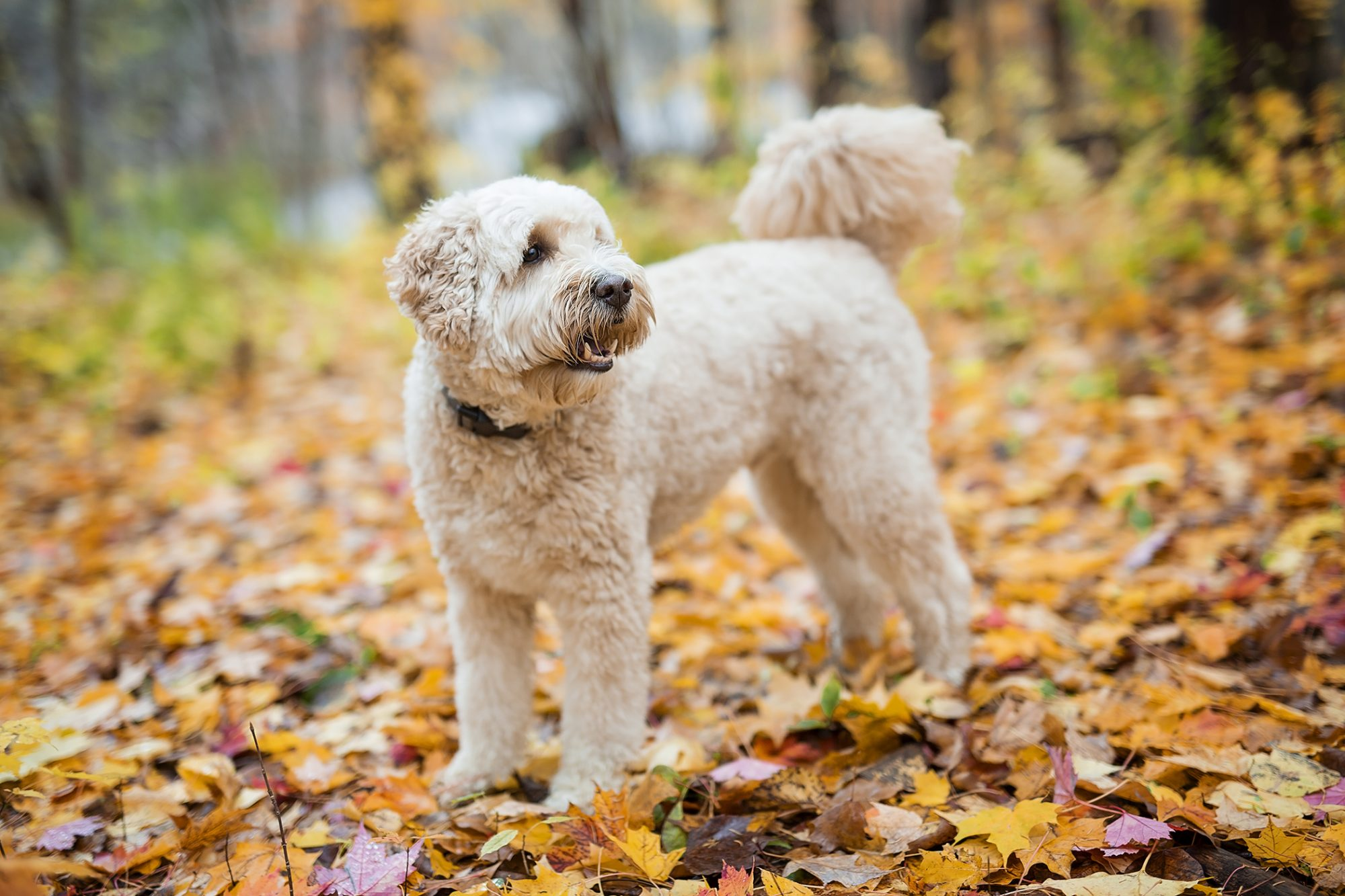 Goldendoodle standing in woods full of golden fall foliage
