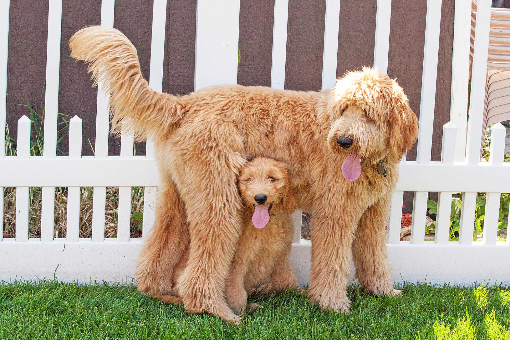 Small Goldendoodle standing under larger one