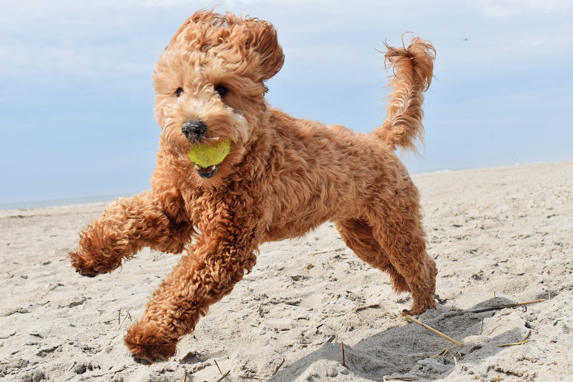 Goldendoodle running on the beach with a tennis ball in his mouth