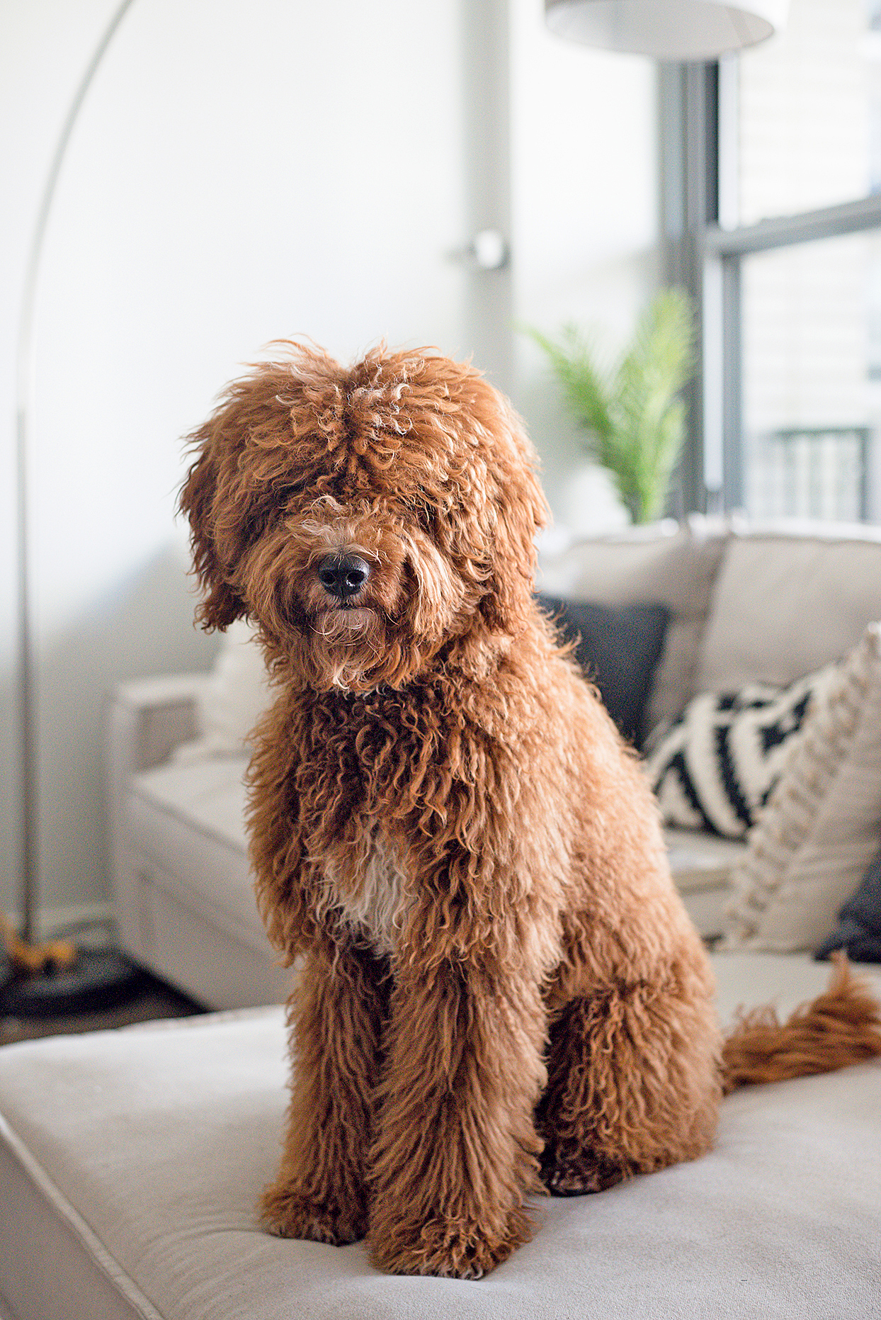 Goldendoodle sitting on white couch