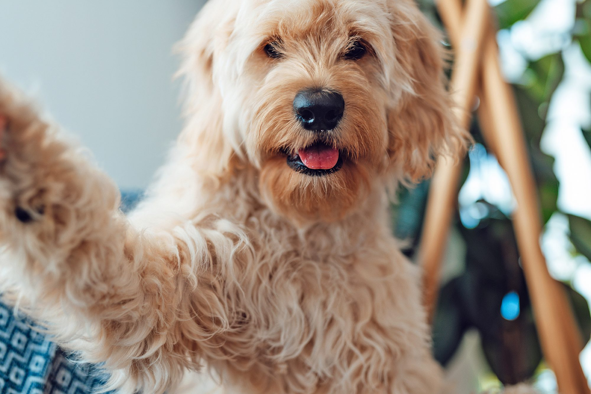 Goldendoodle holding her paw up to the camera