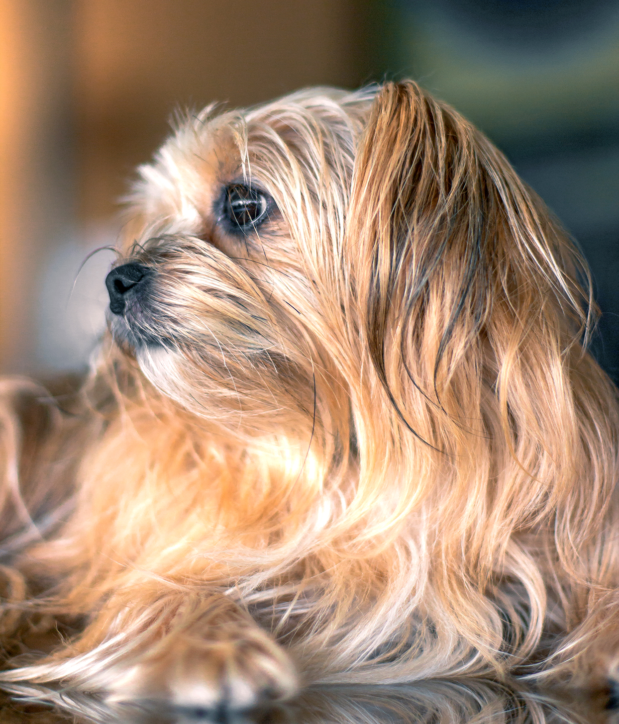 Blonde and brown long-haired shorkie profile picture