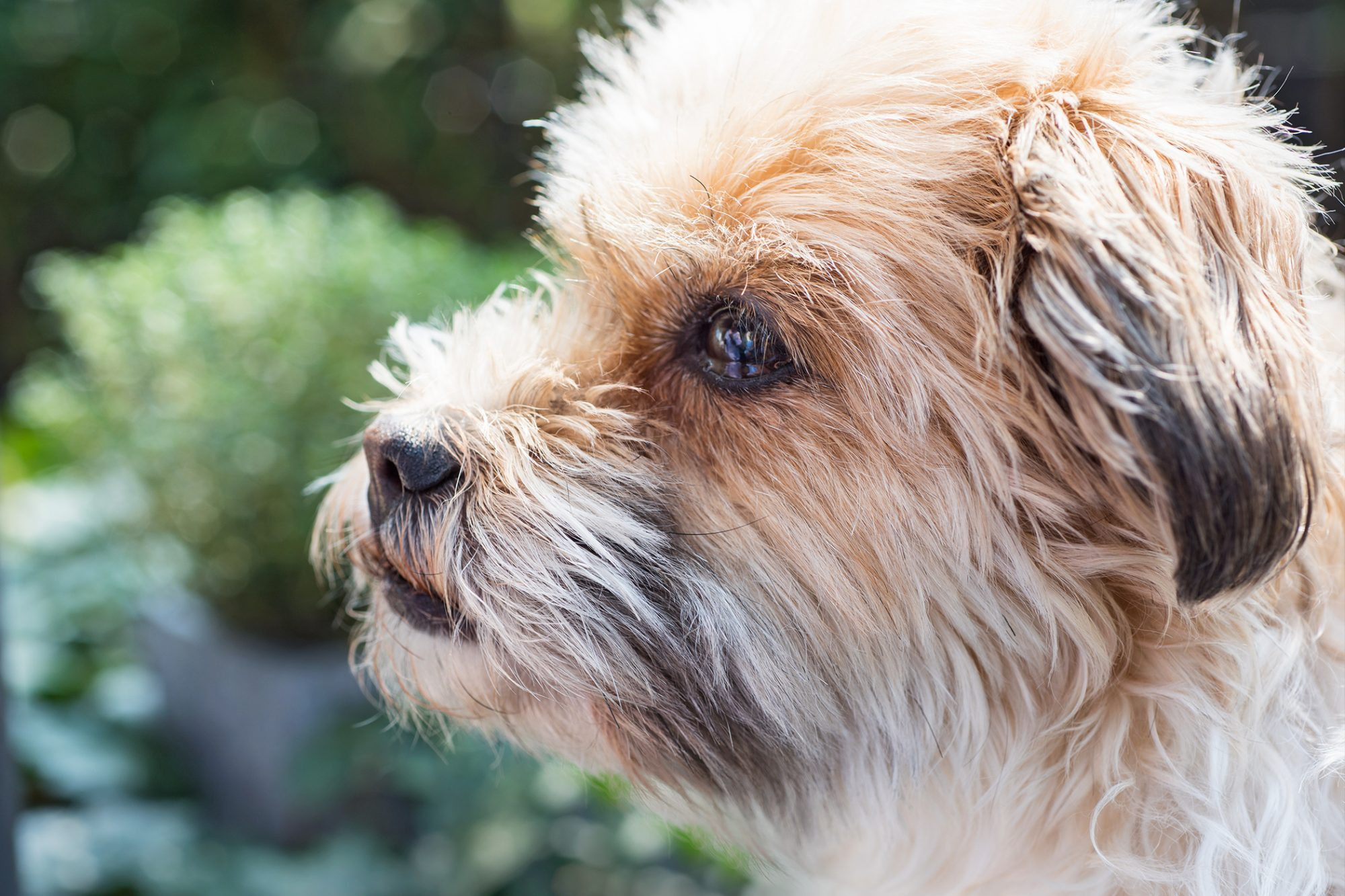 Profile shot of blonde and brown shorkie
