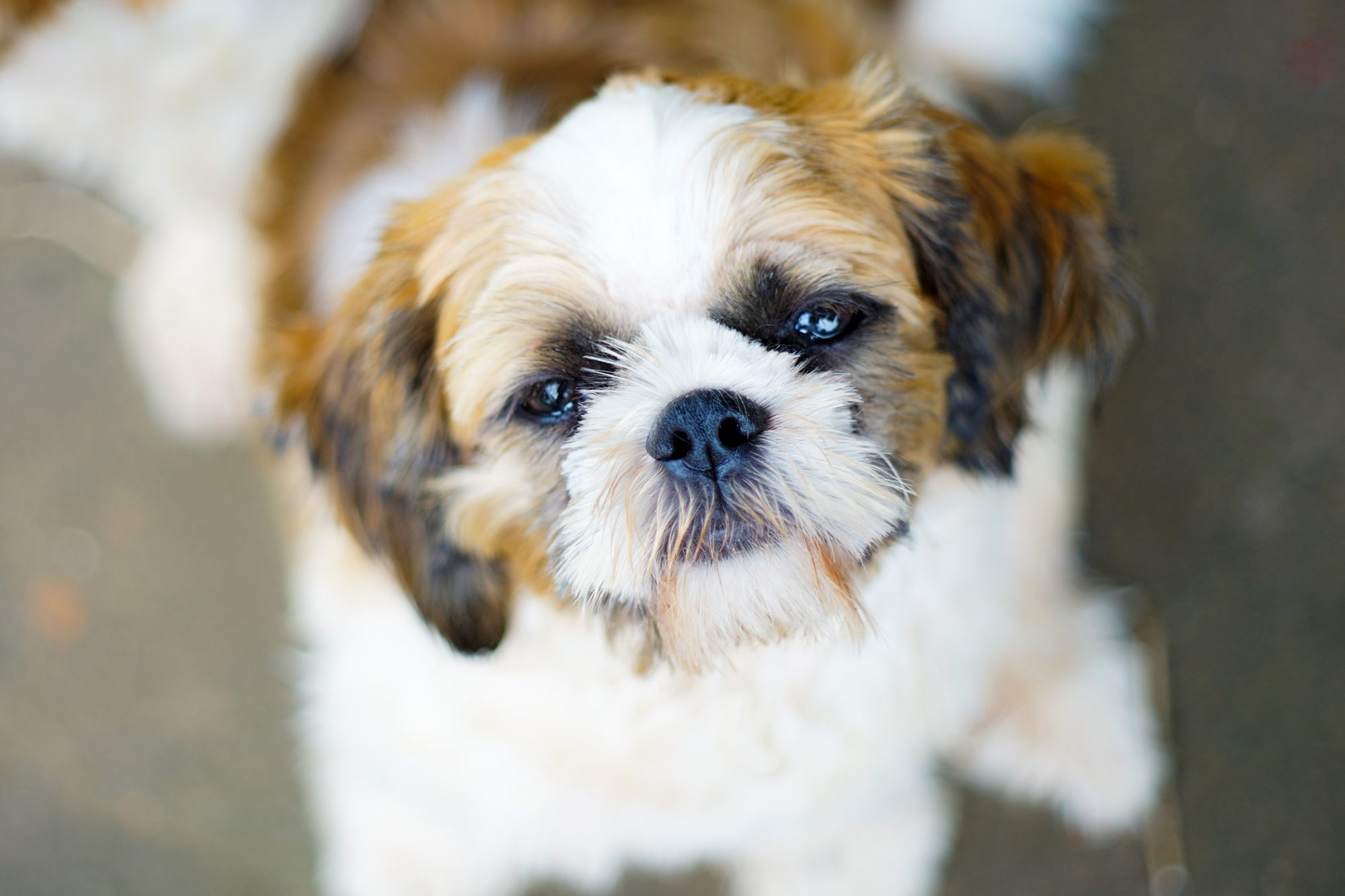 White and brown shorkie looks up at camera