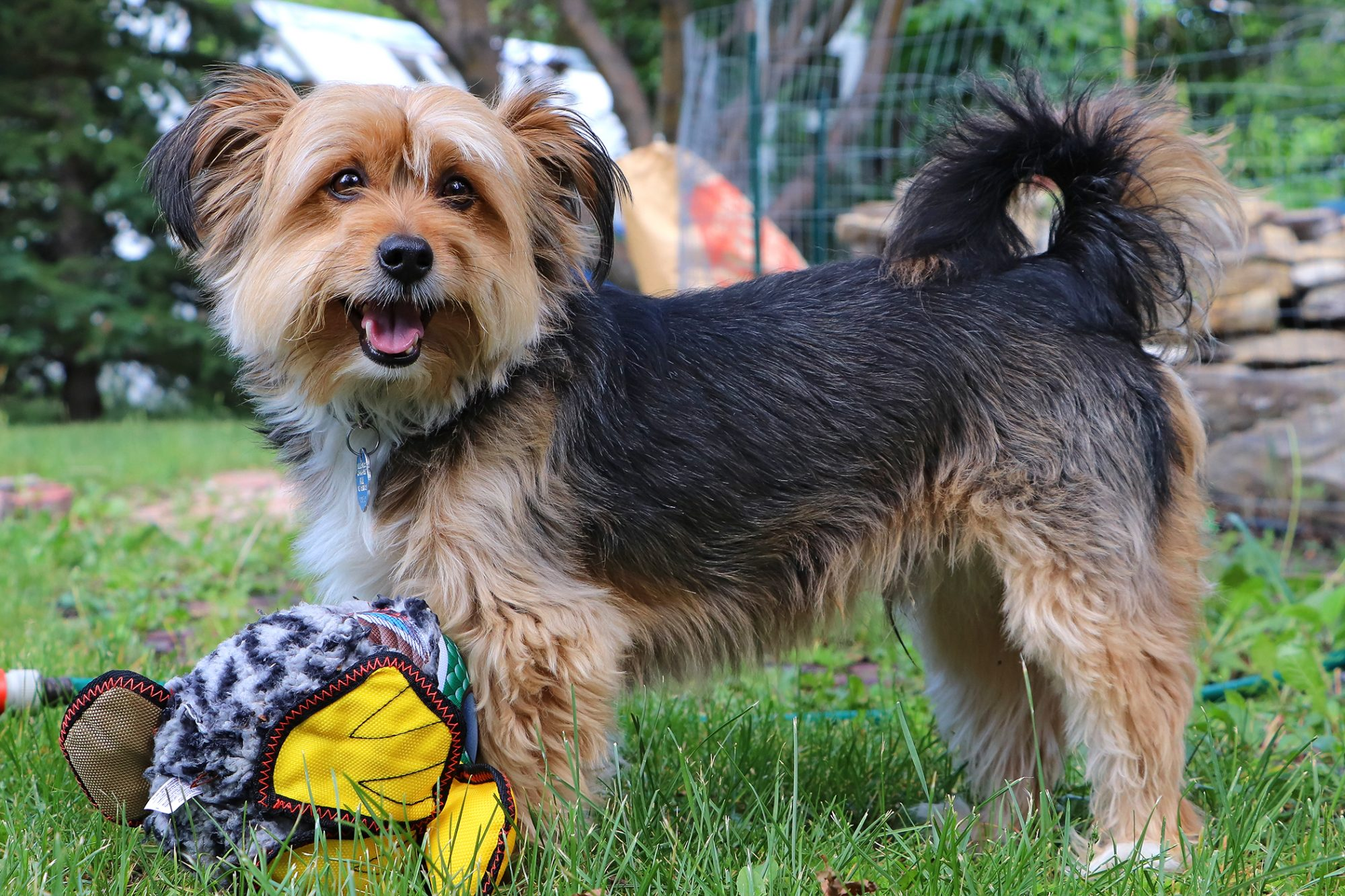 Adult black and tan shorkie plays with toys in yard