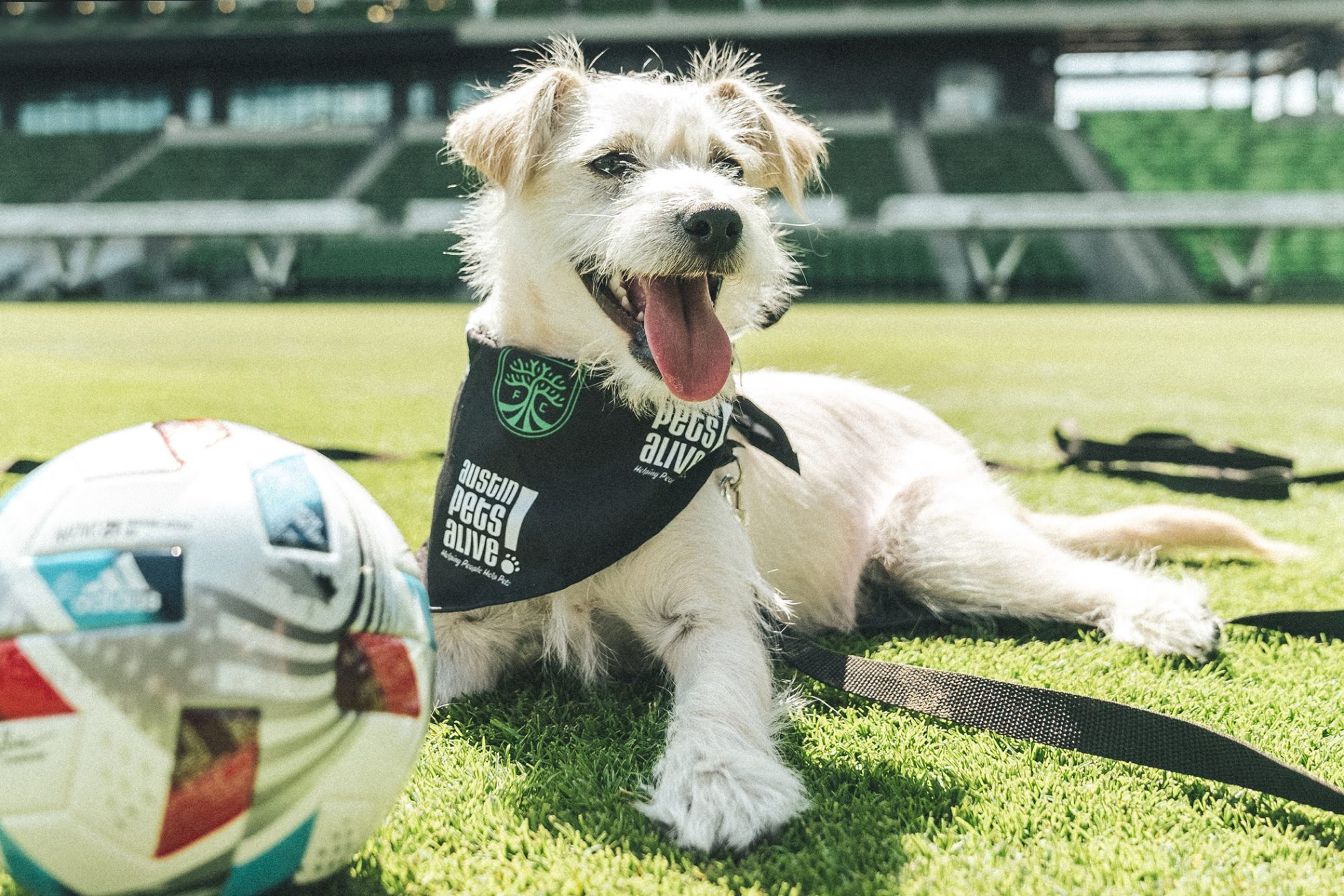 white dog posing on turf in stadium with soccer ball