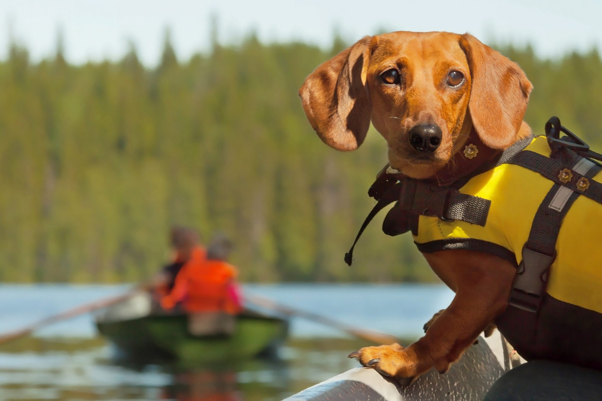 dachshund on boat wearing a life jacket
