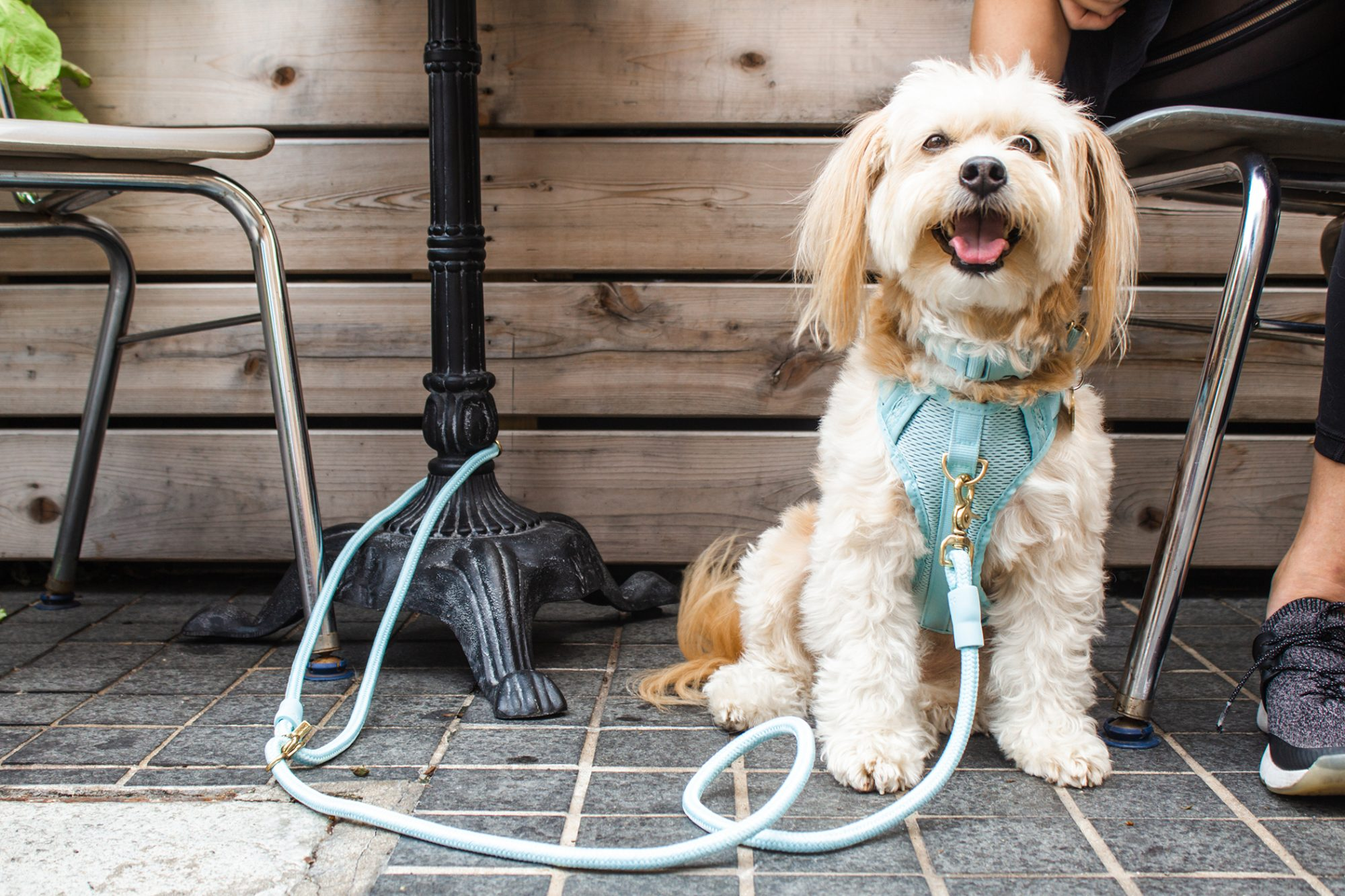 dog with light blue harness sitting next to person on an outdoor patio