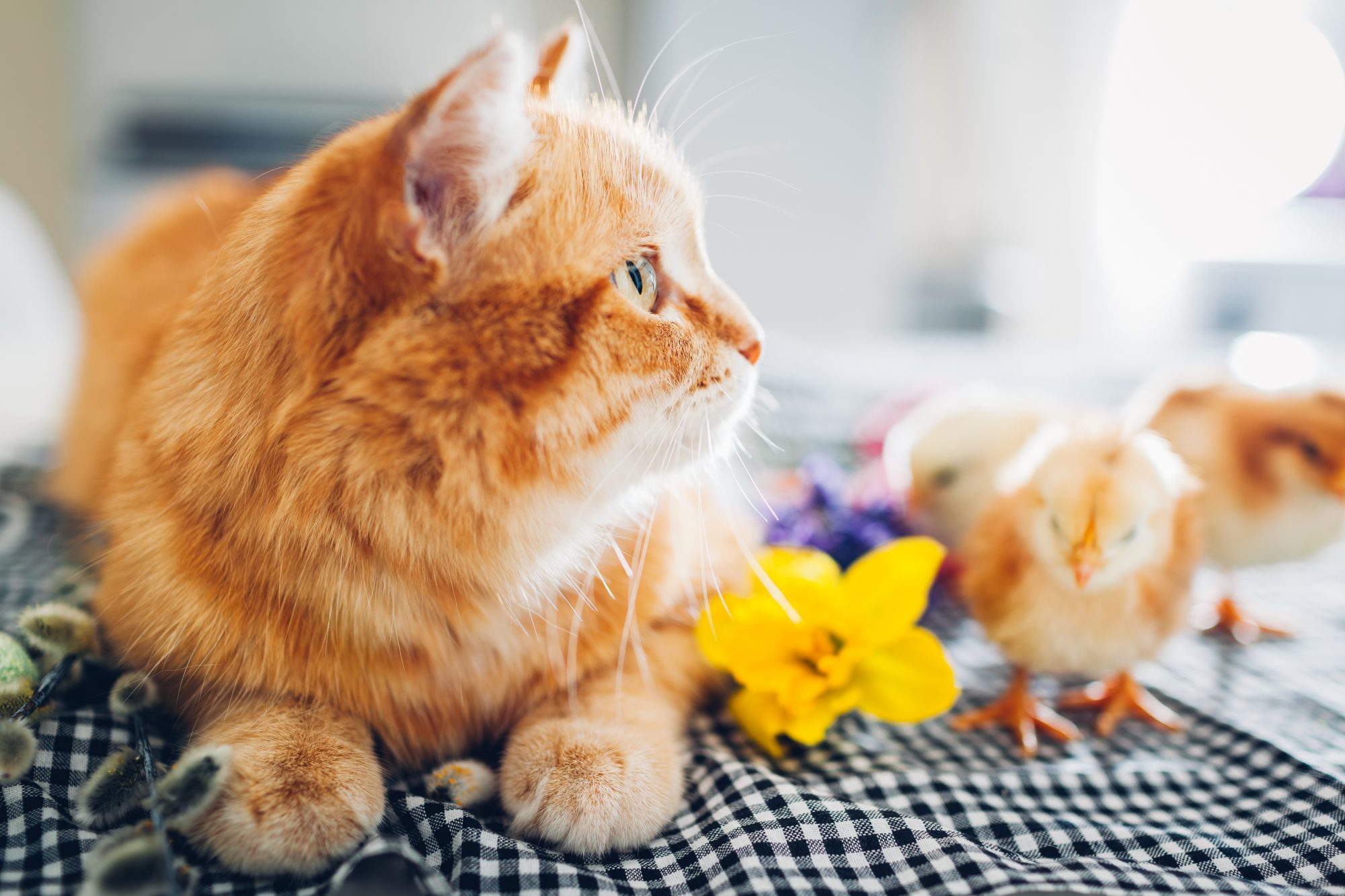 Baby chicks play next to orange tabby kitten