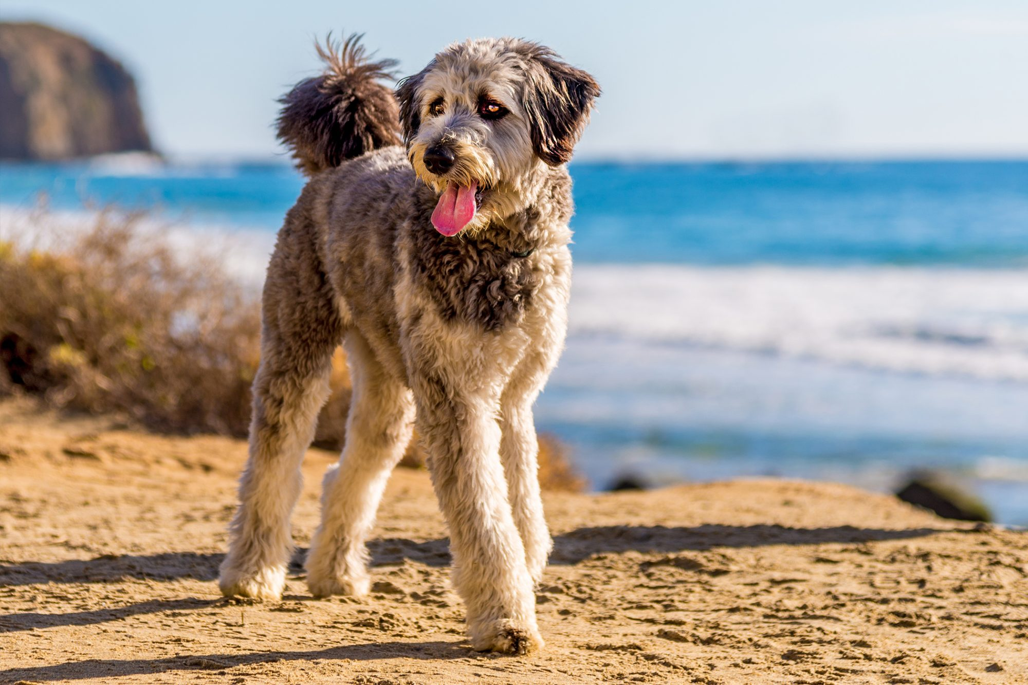 Aussiedoodle walks on beach with ocean in background