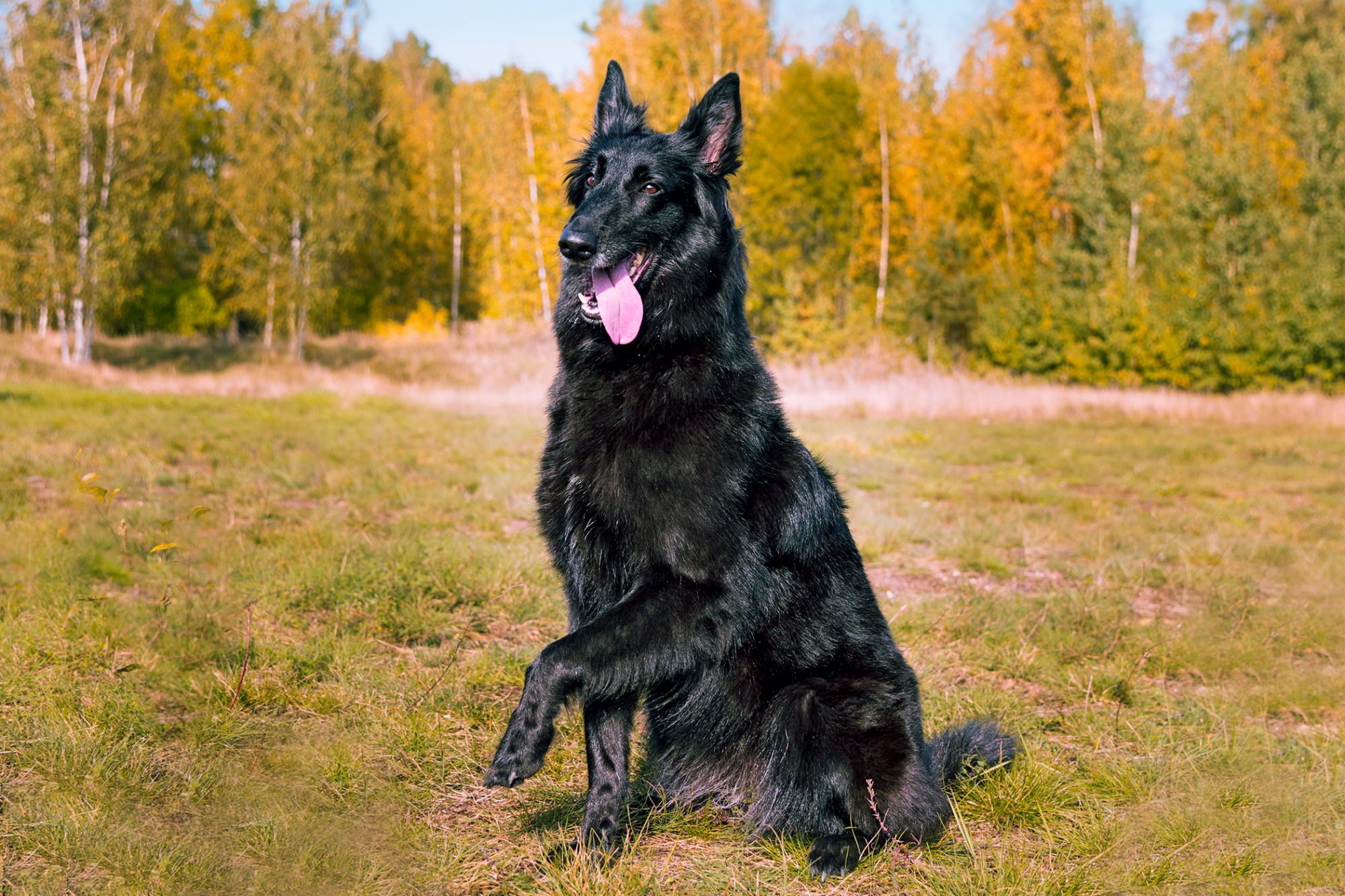 Belgian sheepdog happily pants and raises paw in forest clearing
