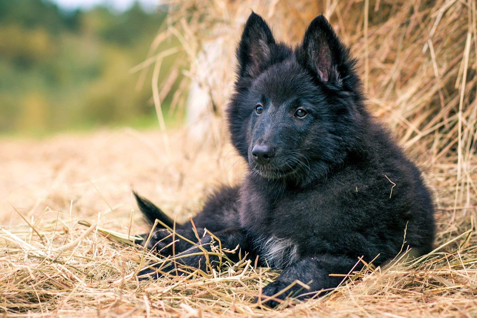 Belgian sheepdog puppy lays in pile of hay outdoors