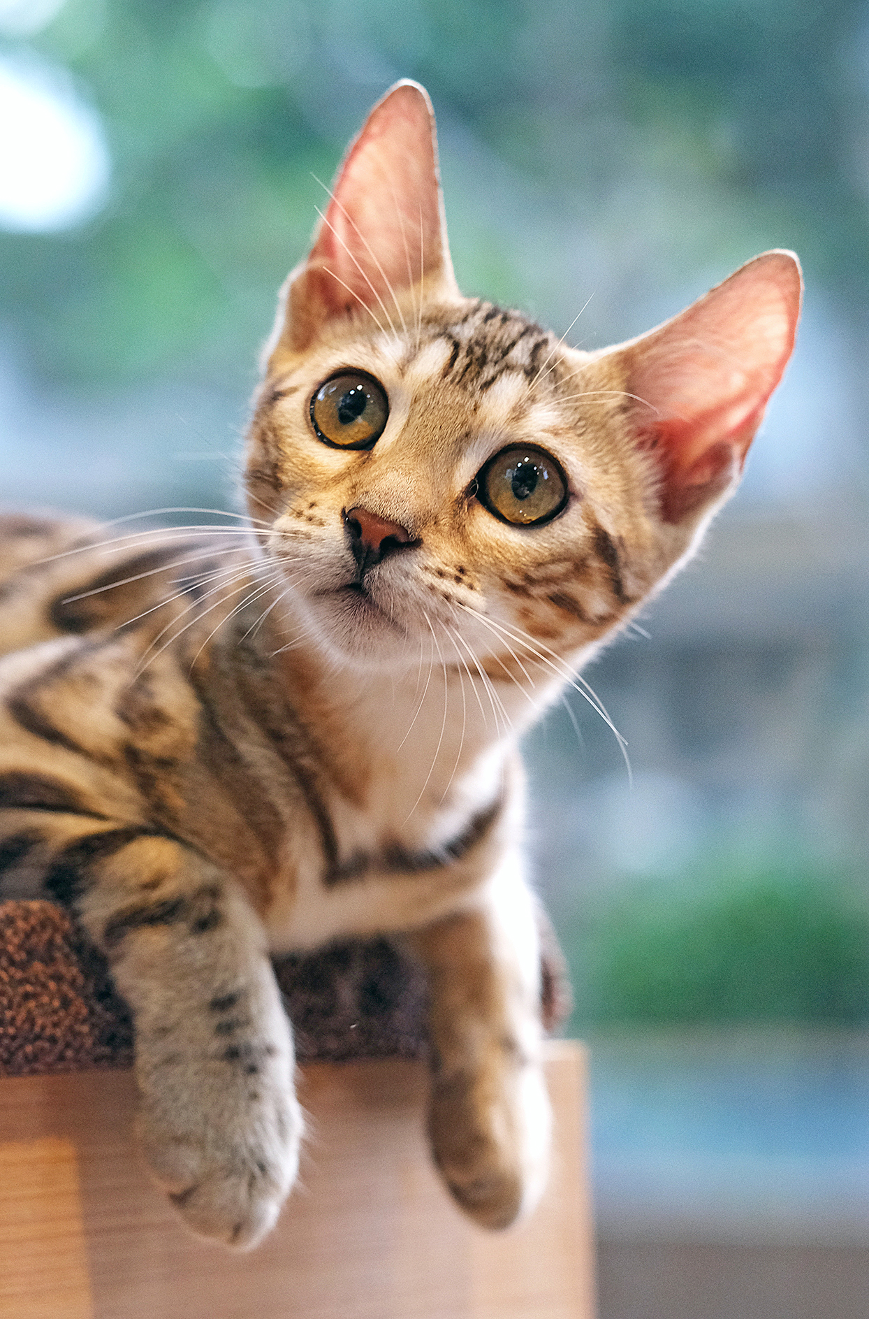 Vertical portrait of Bengal kitten laying on stair