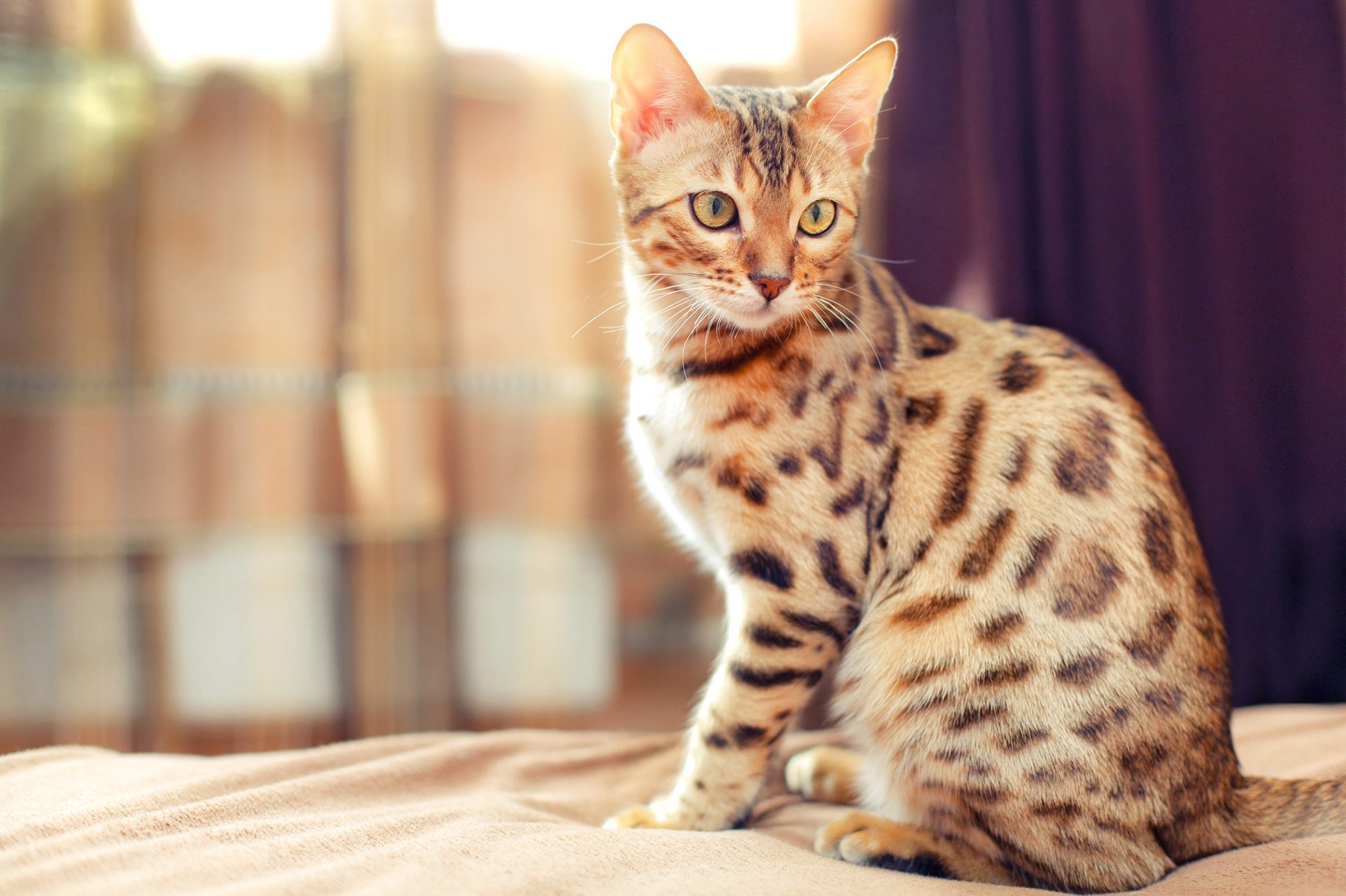 Cream Bengal cat sits on bed; purple curtain in background