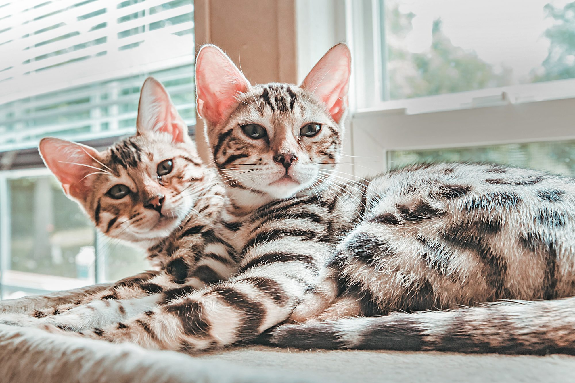 Cream and charcoal pair of bengal cats rest by window