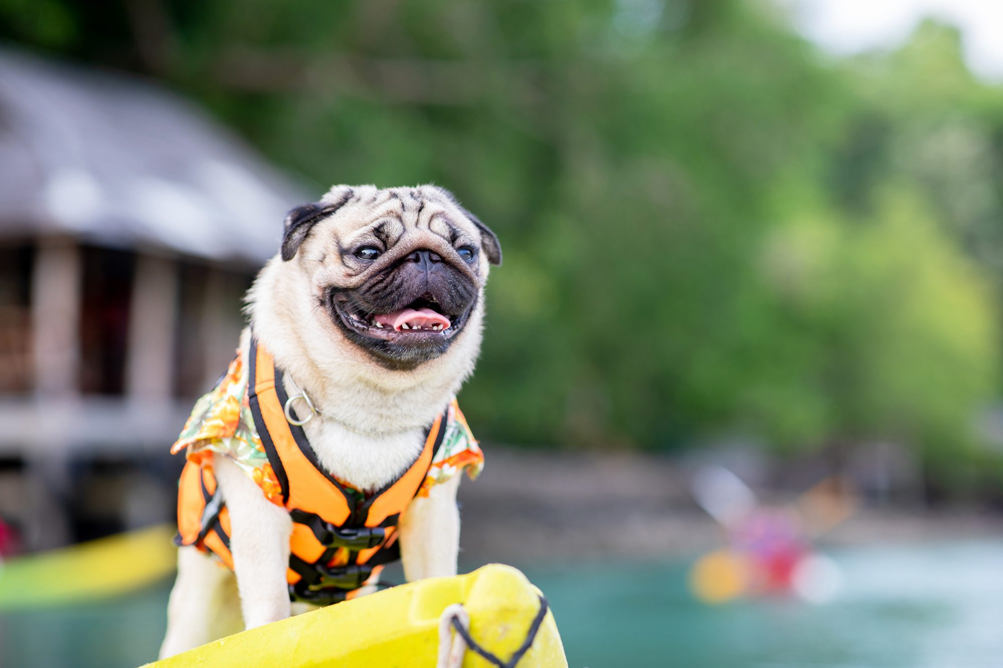 Tan pug happily stands on edge of yellow kayak while wearing orange lifejacket