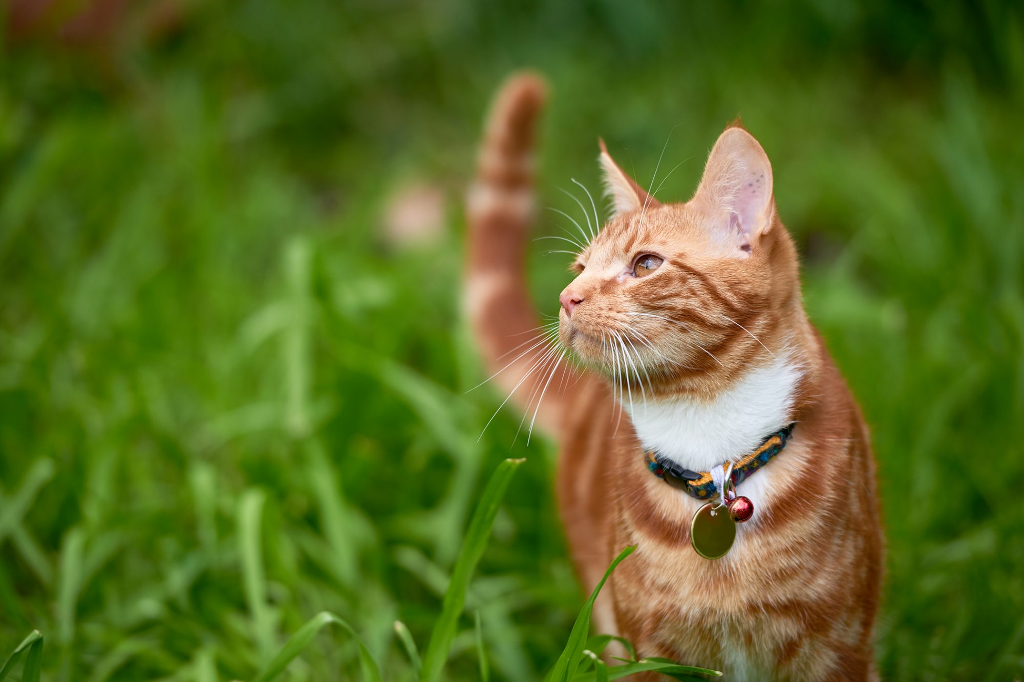 Orange tabby cat stands in long grass