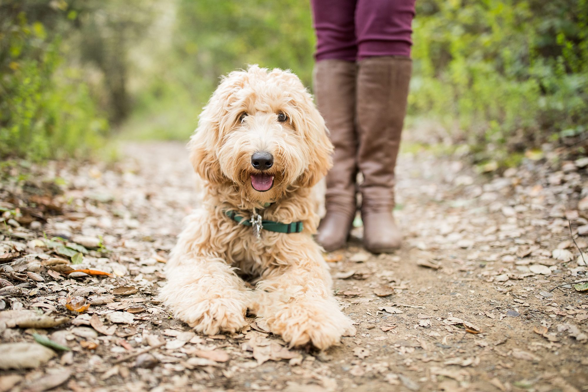 Blond labradoodle lays on hiking trail