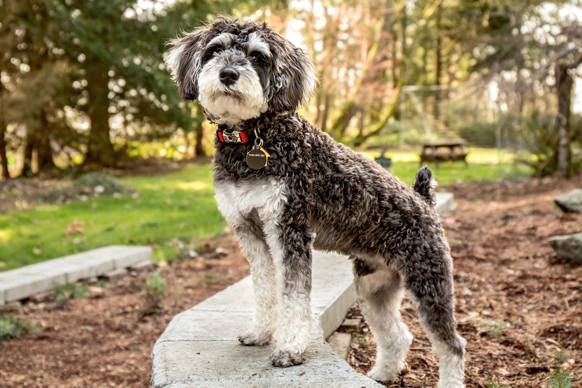 Black and white schnoodle stands with front paws on concrete bench in park