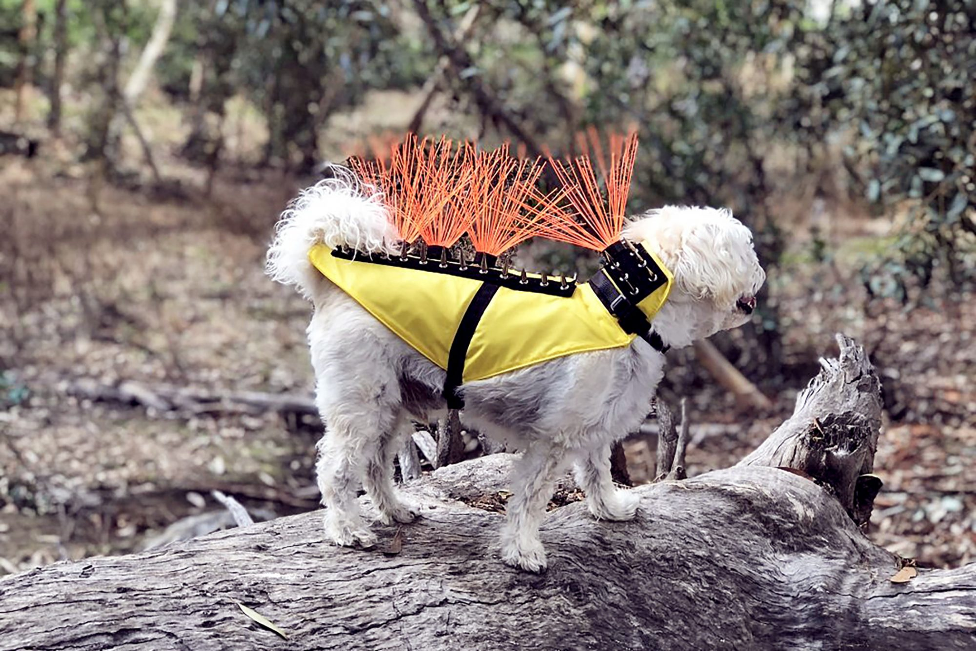 dog wearing coyote vest