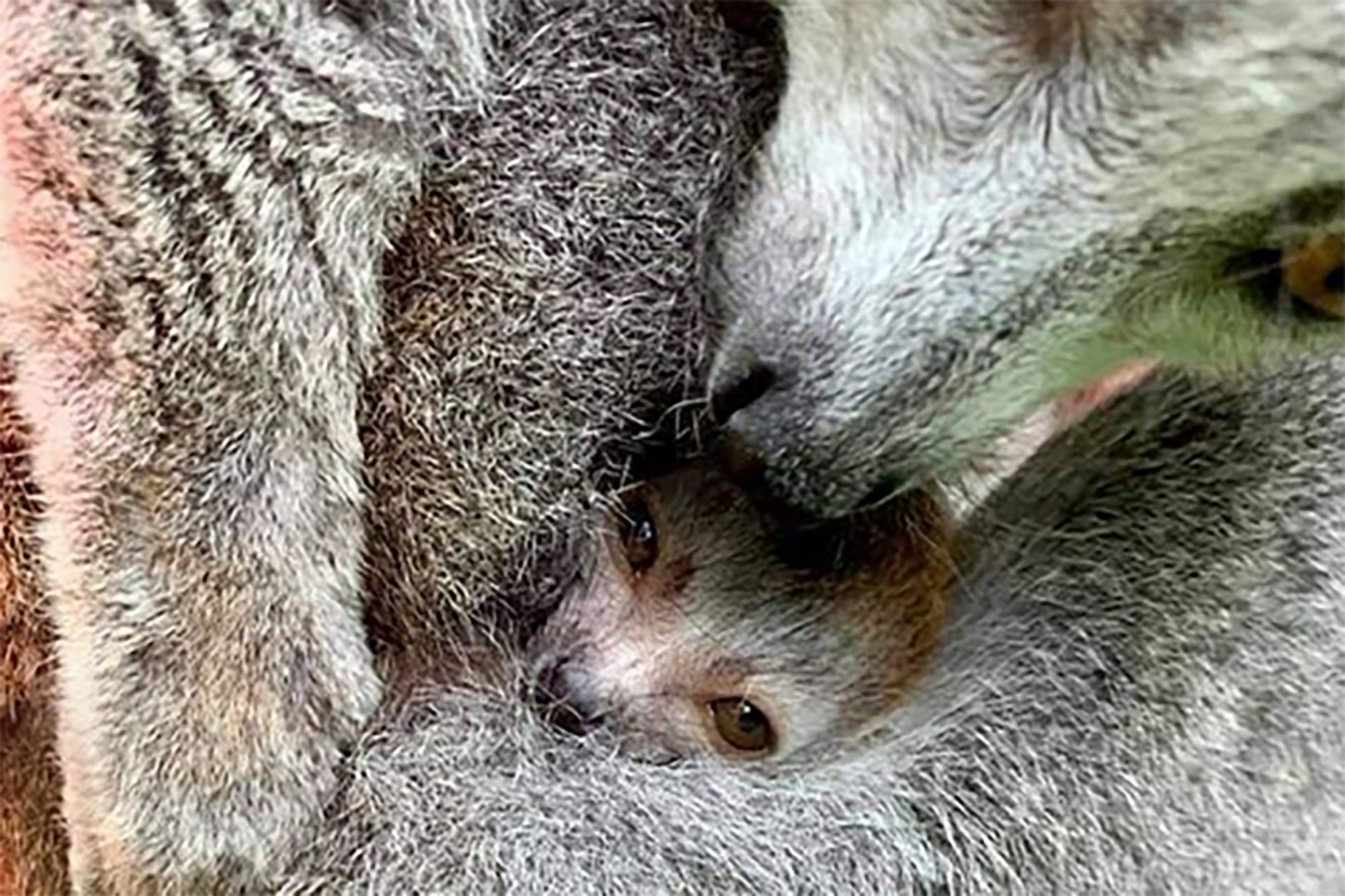 baby lemur in his mother's arms