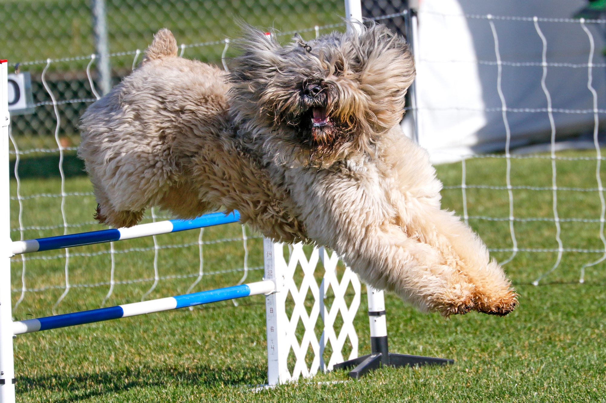 Bouvier des Flandres running an agility track