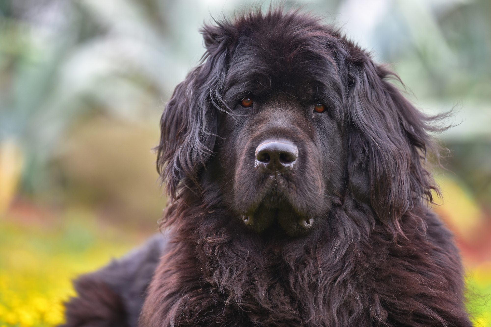 Black Newfoundland laying in autumn leaves