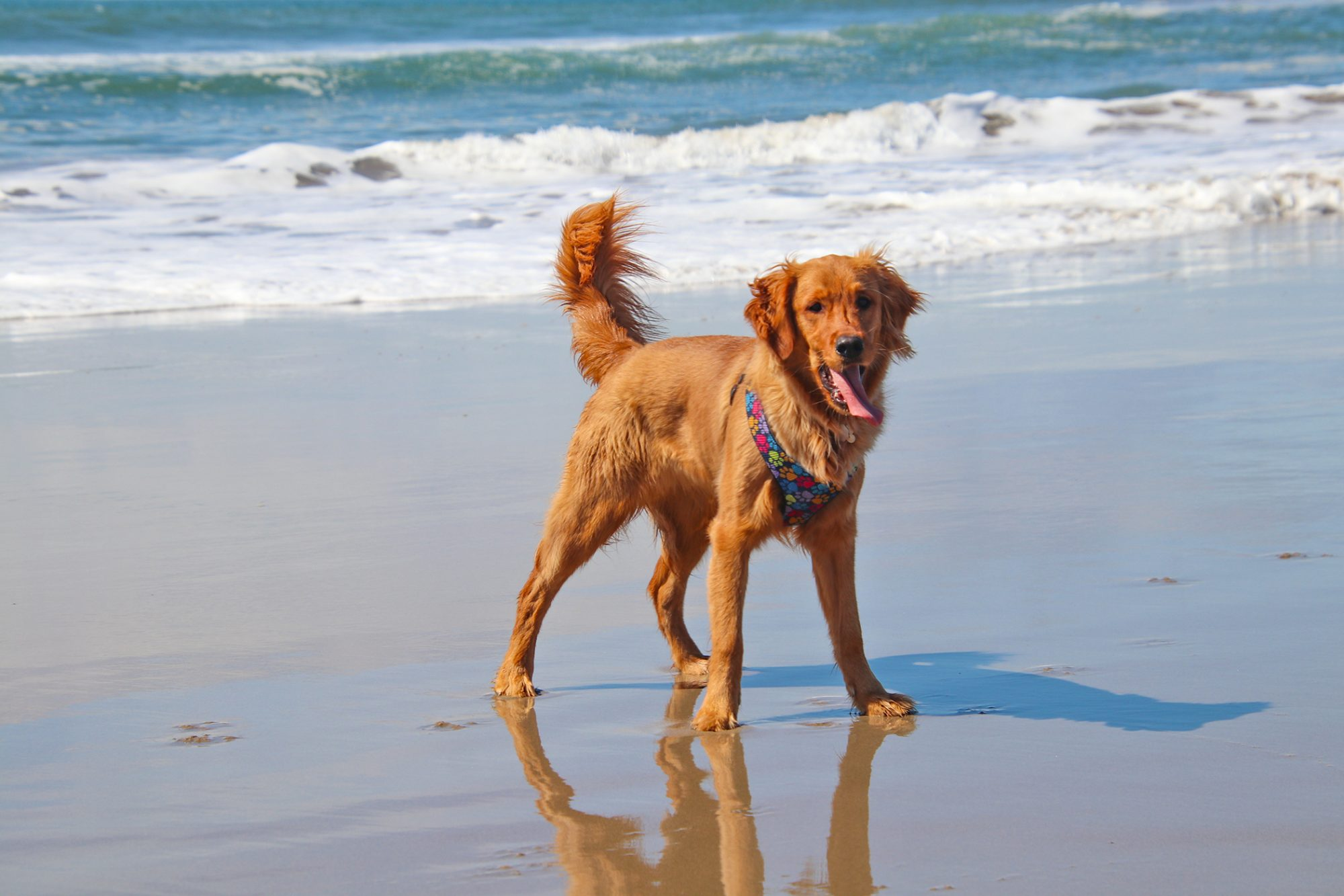 Canadian Golden Retriever on beach, tall, thin with darker, thinner coat