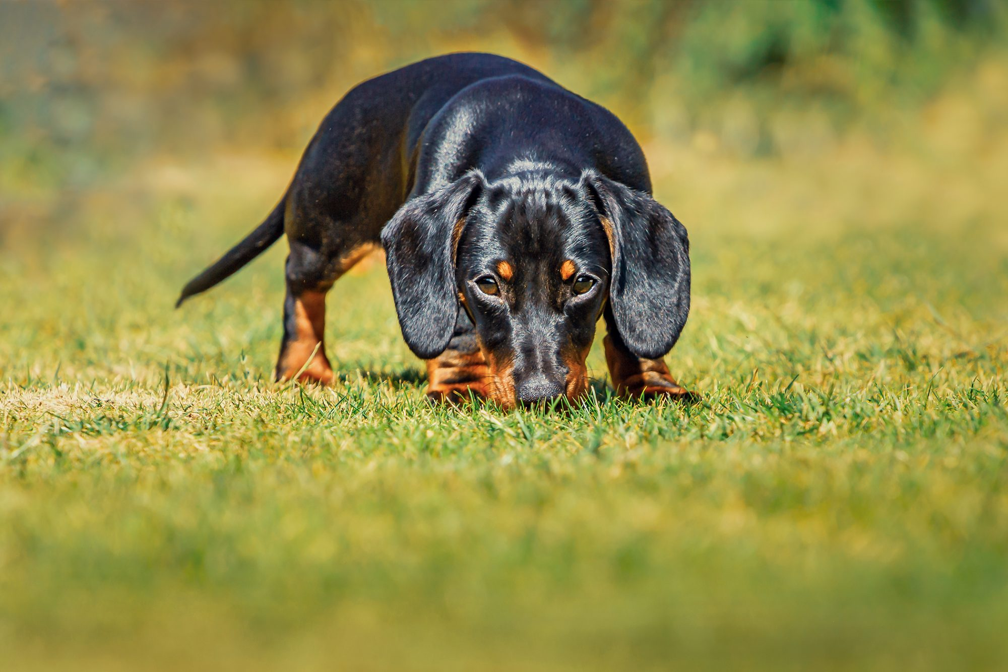 black dachshund sniffs grass