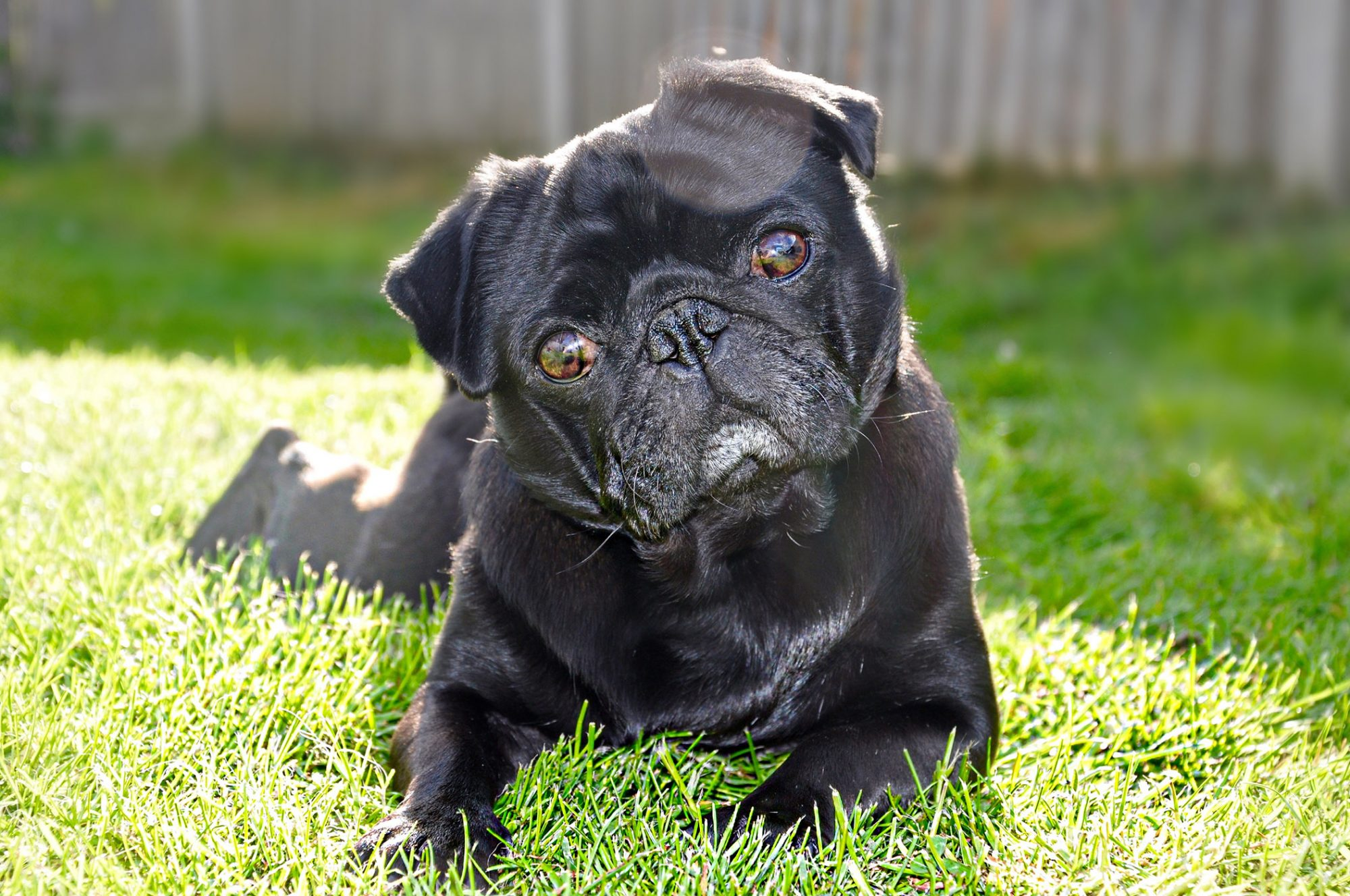 Black pug lying in the grass