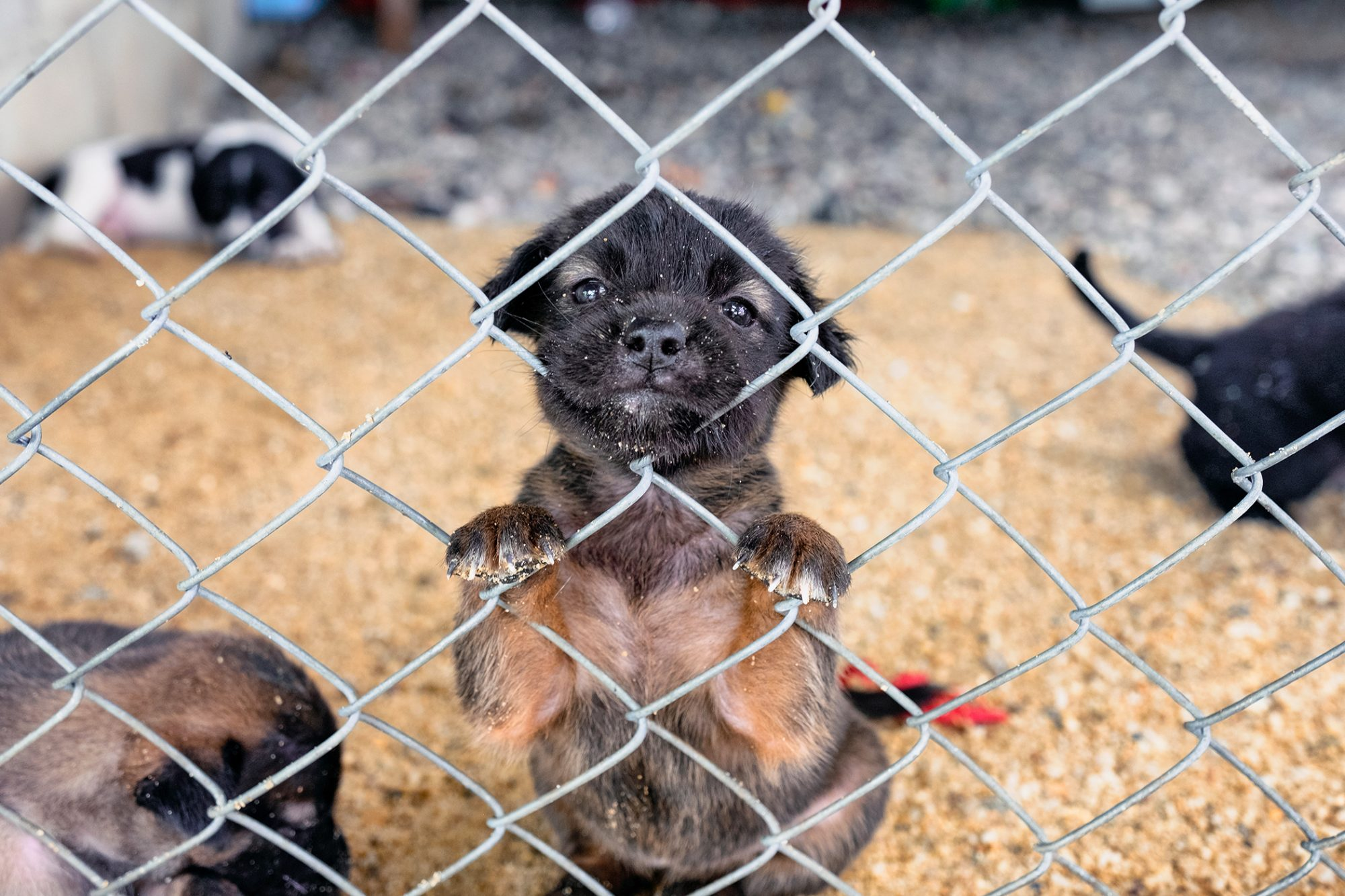 puppy puts paws up onto chain-link cage