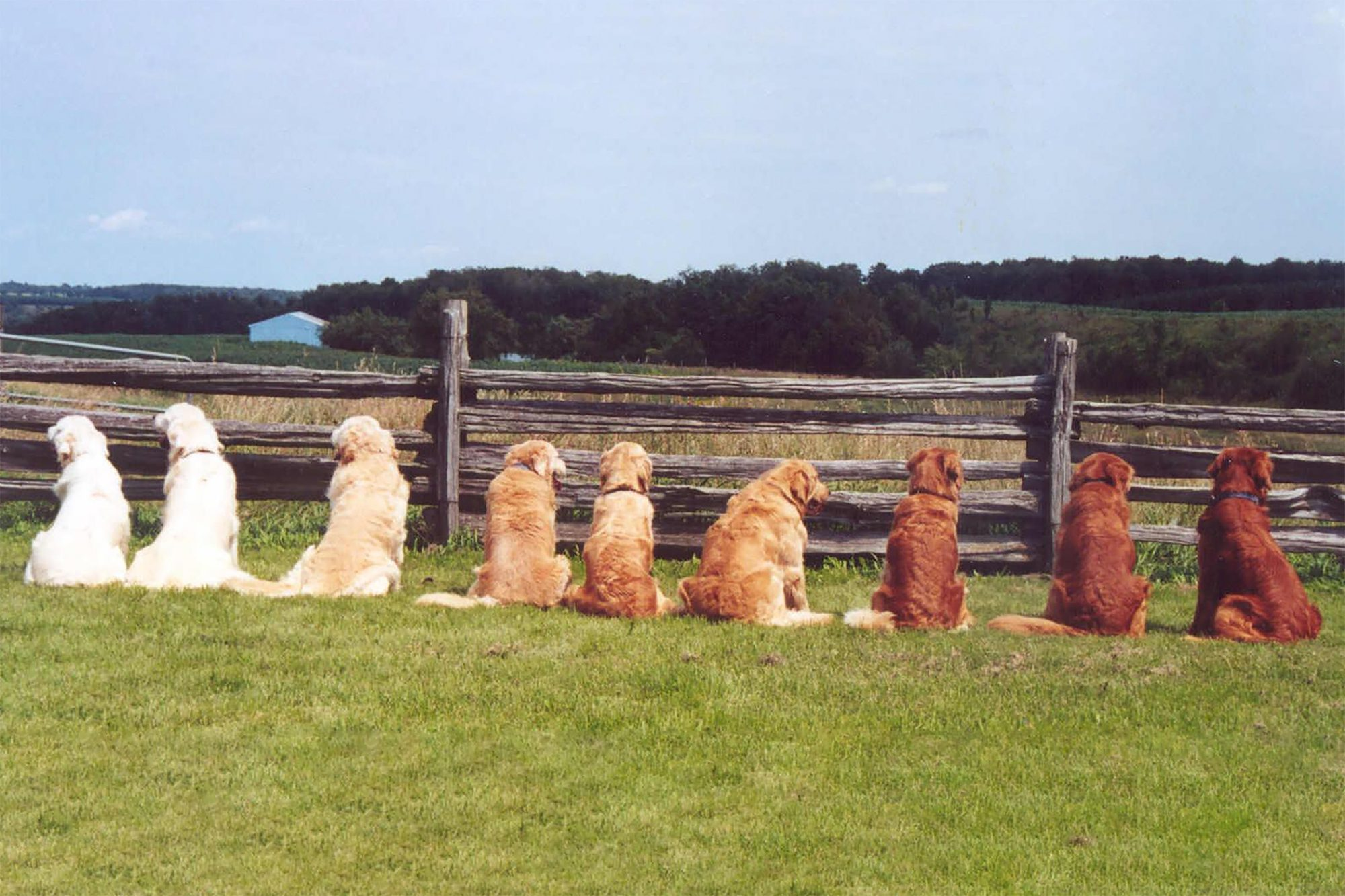 Row of Golden retrievers in various colors