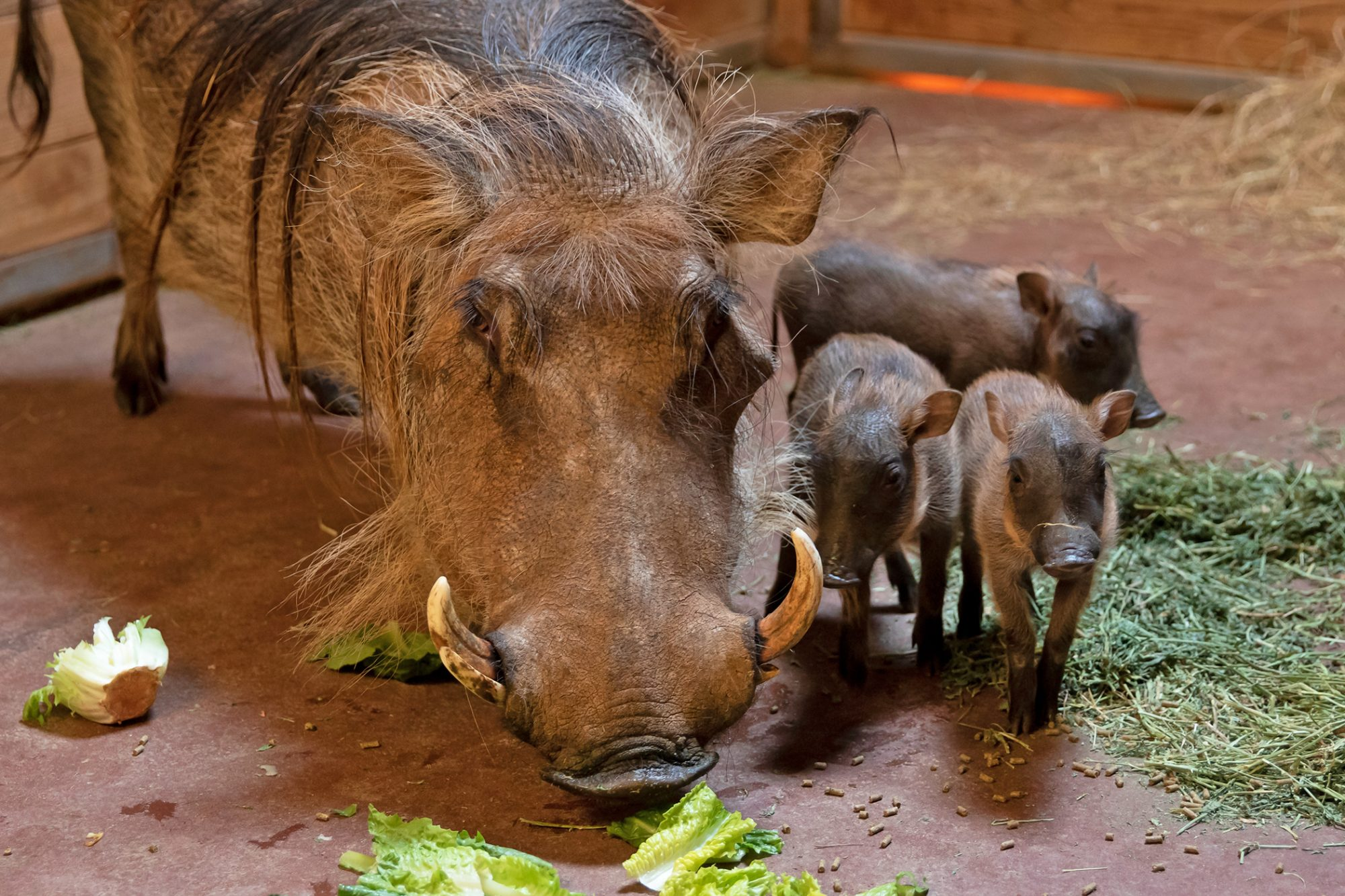 three warthog piglets with mother