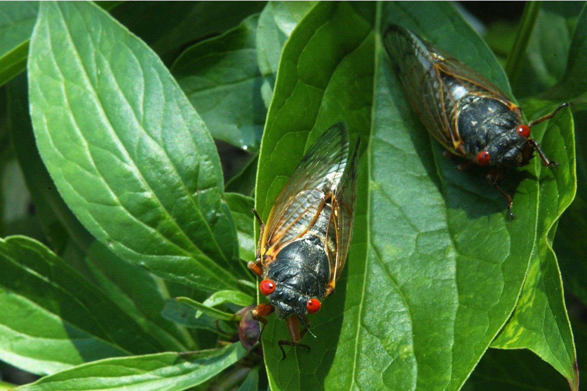 two Brood X cicadas sitting on green leaves