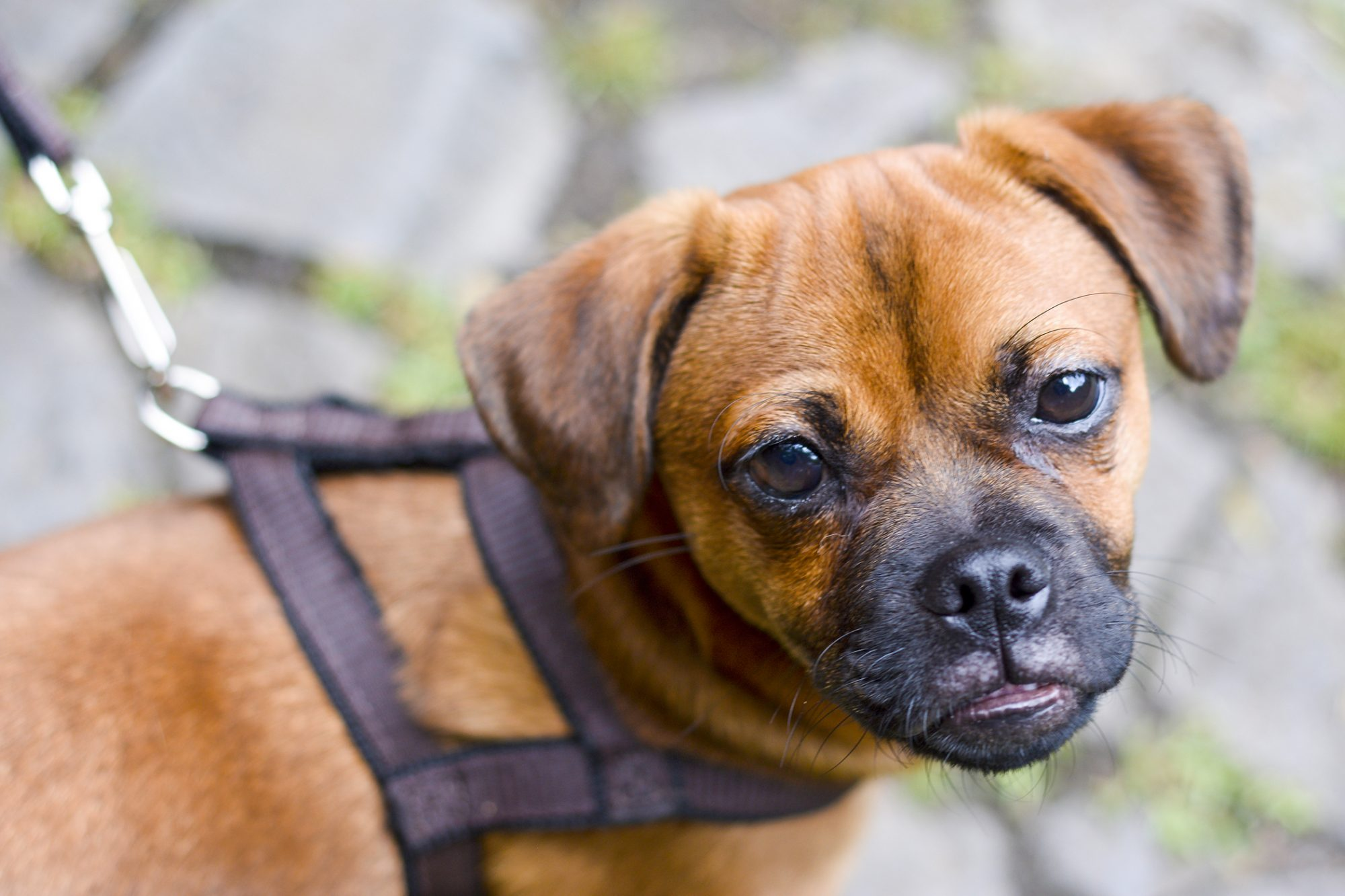 Puggle close up on a walk in a harness