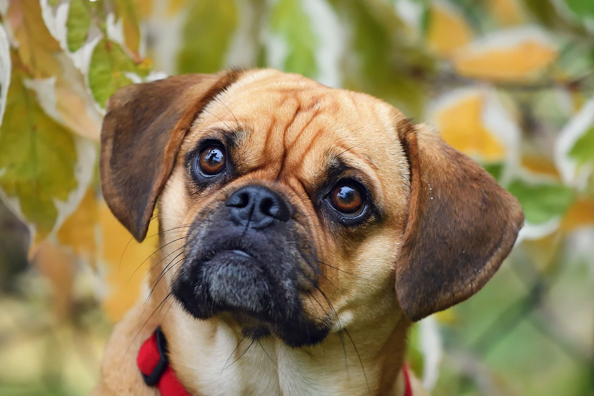 Puggle close up sitting in front of leaves