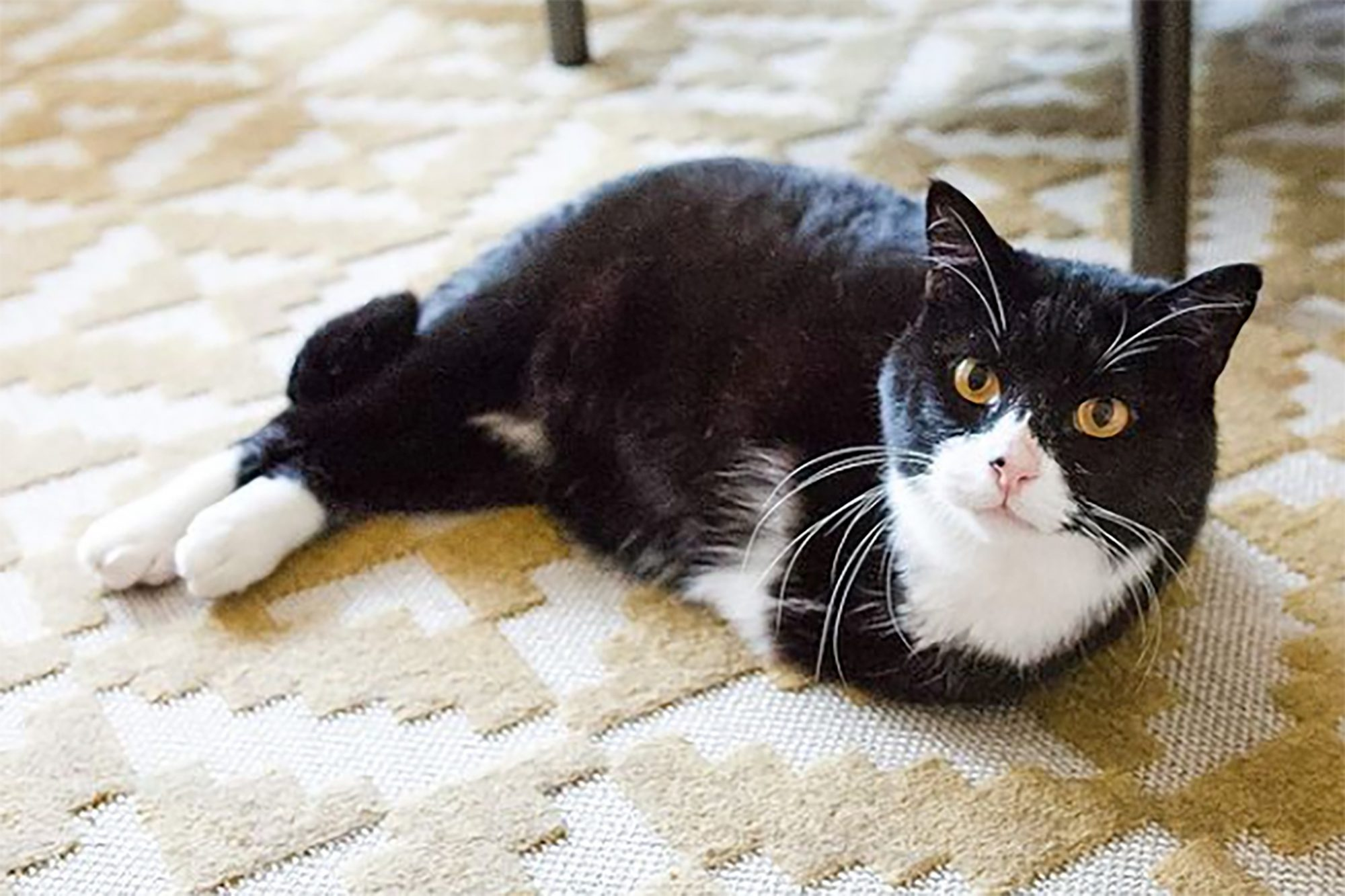 black and white cat with only his hind two legs laying on the floor