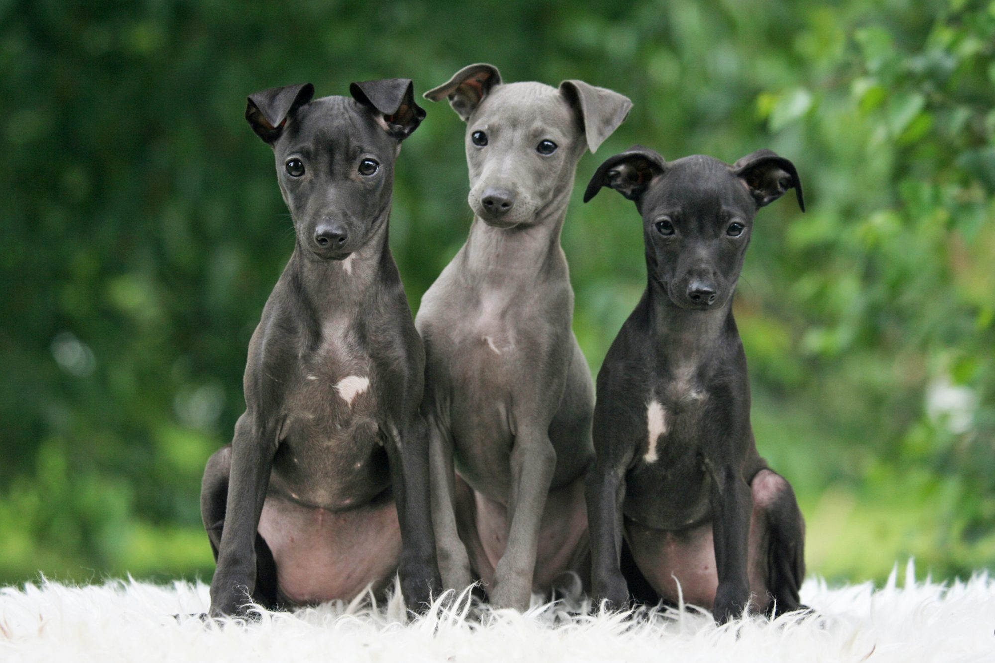 Three Italian greyhound puppies sit on white rug outside