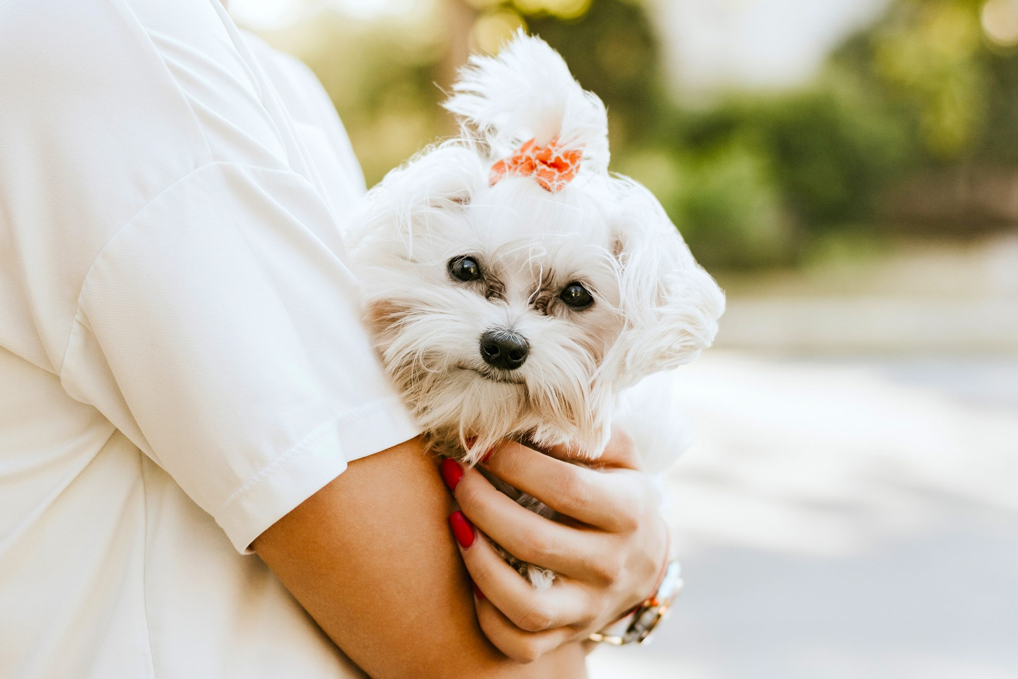 Maltese terrier with bow in hair being held by woman outdoors