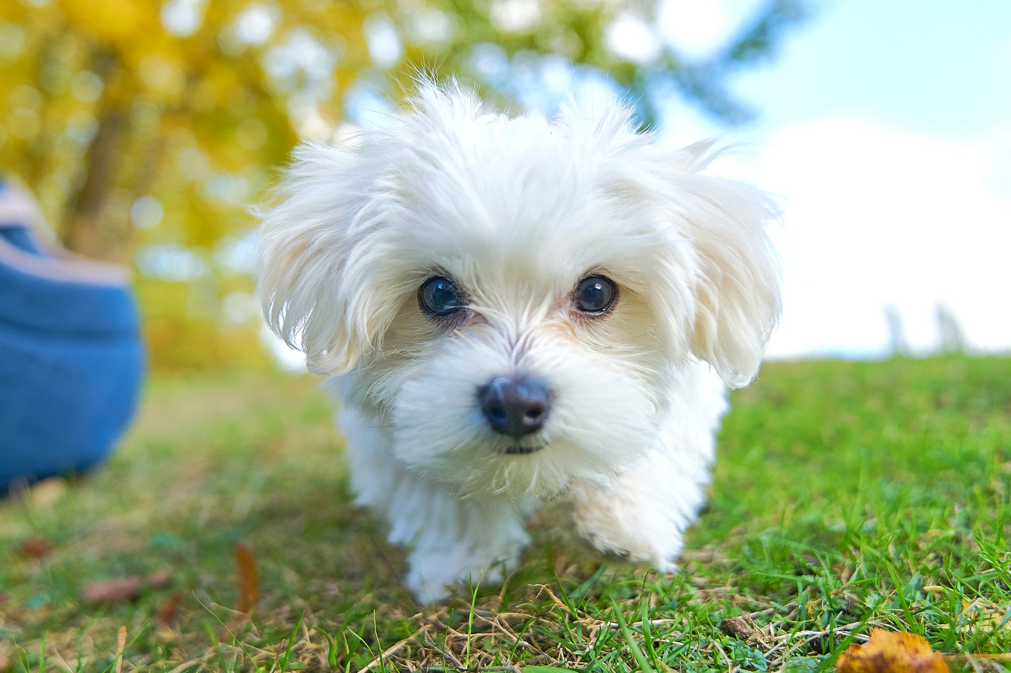 White maltese puppy approaches camera