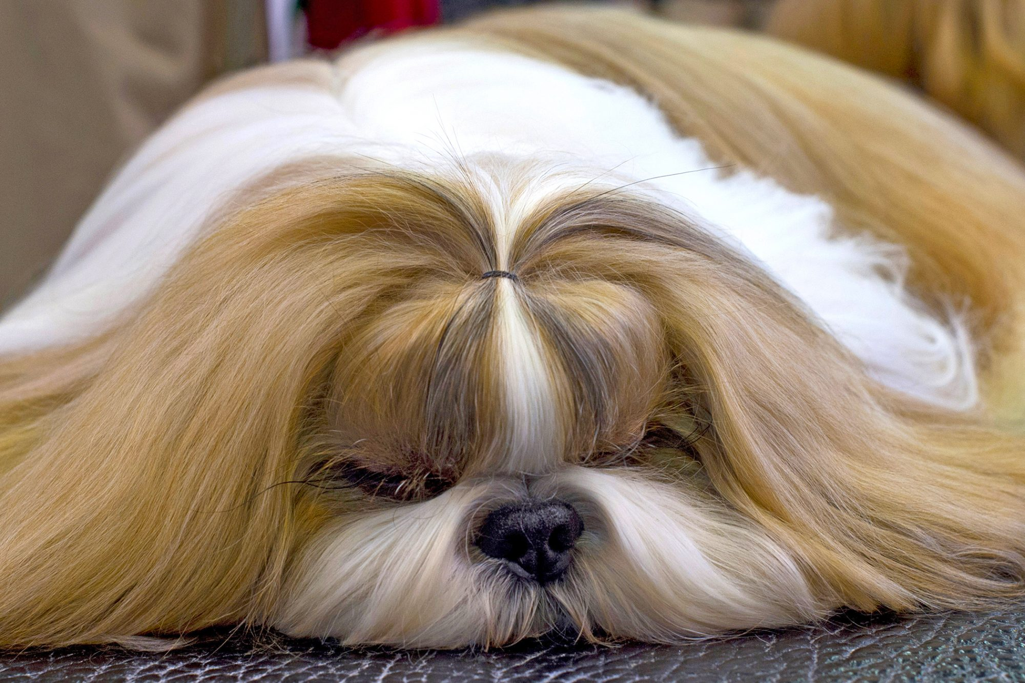 Long-haired Maltese dog with white and tan hair lays on floor and smooshes face