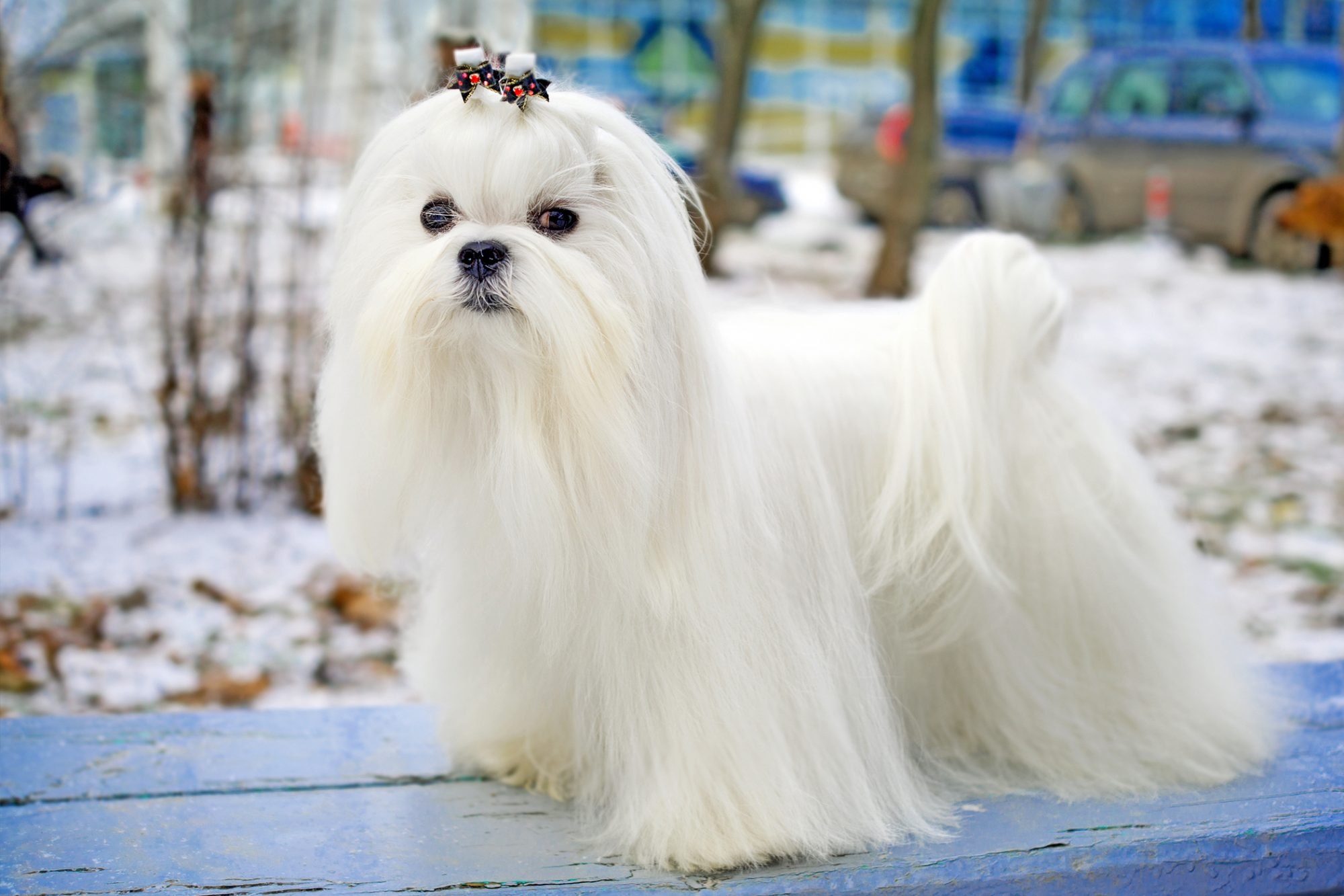 Long-haired white Maltese stands on blue bench outside during winter