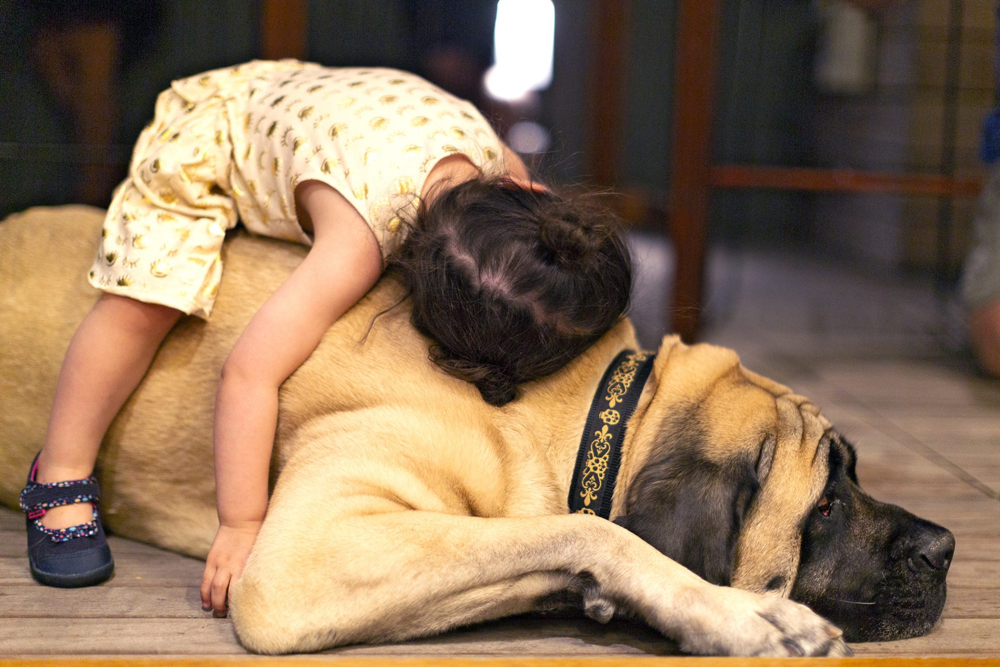 young toddler girl lays on top of adult mastiff dog indoors