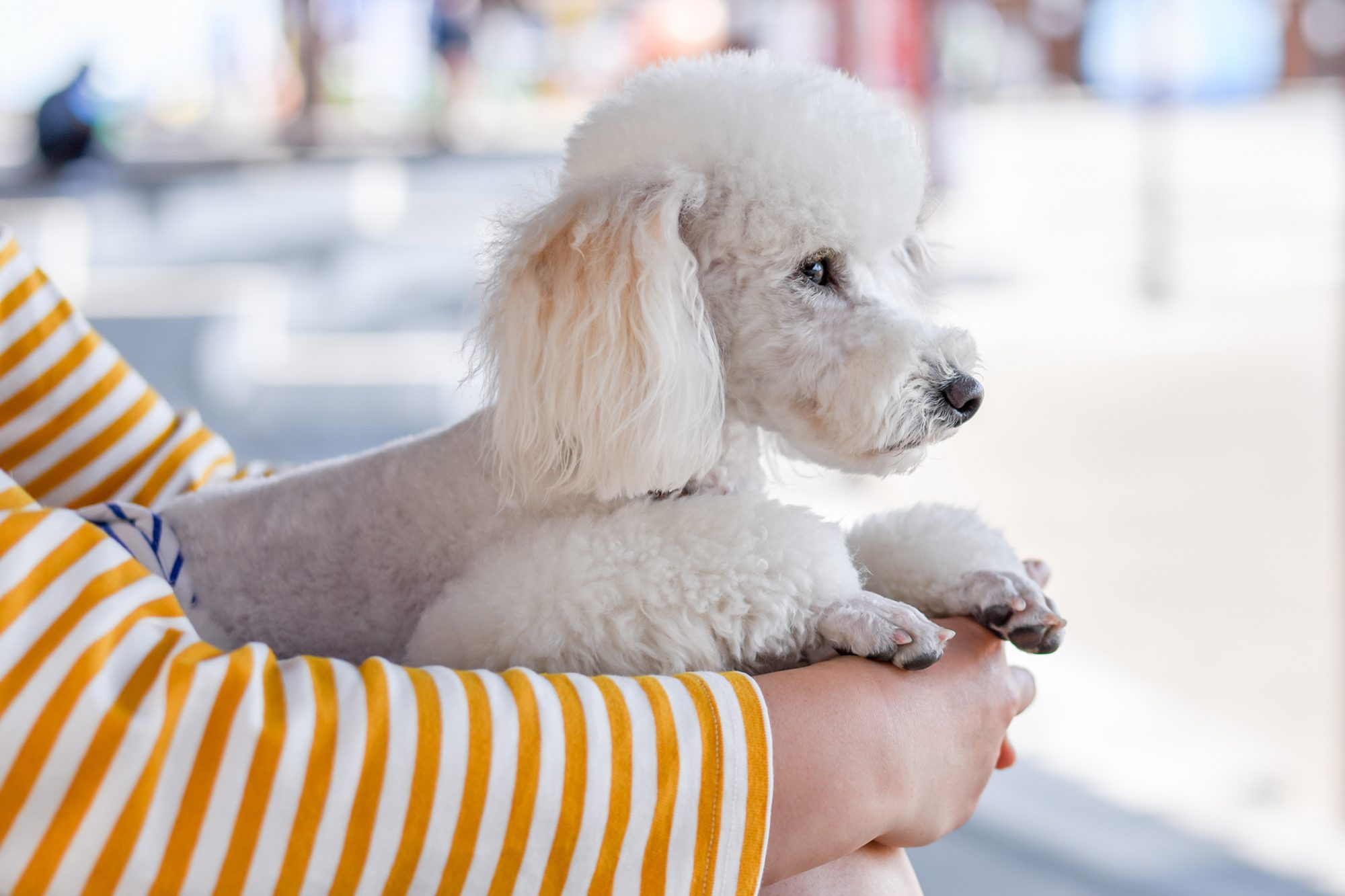 person holding white toy poodle with french cut