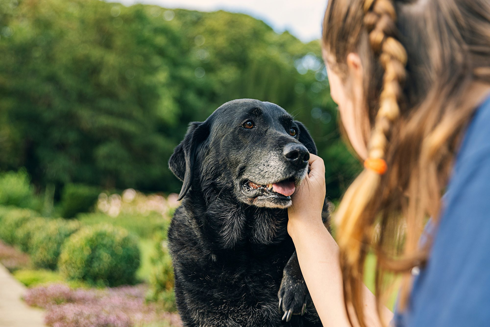 Senior black lab gets pet by young girl on face