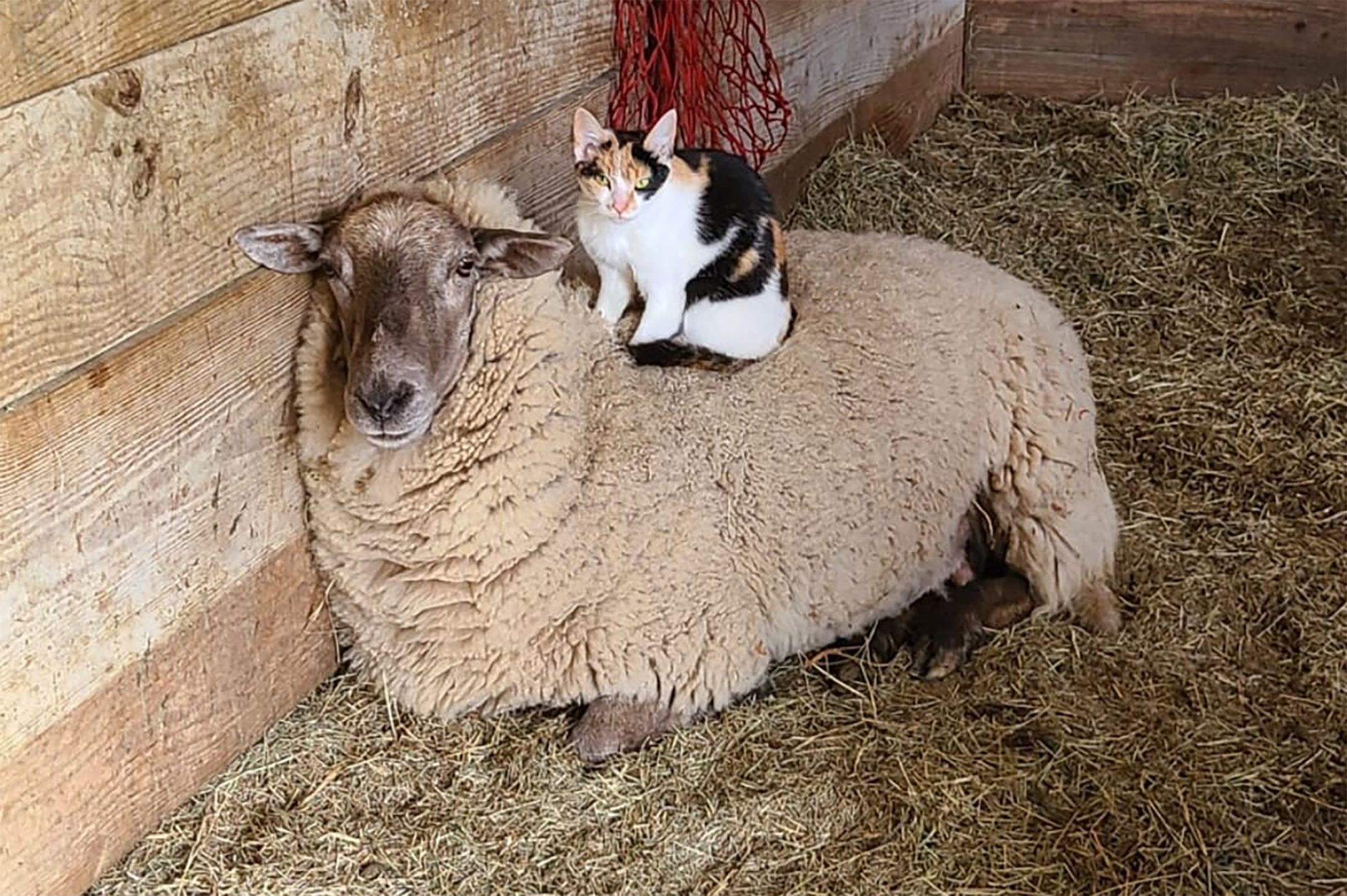 Cat lying on top of sheep