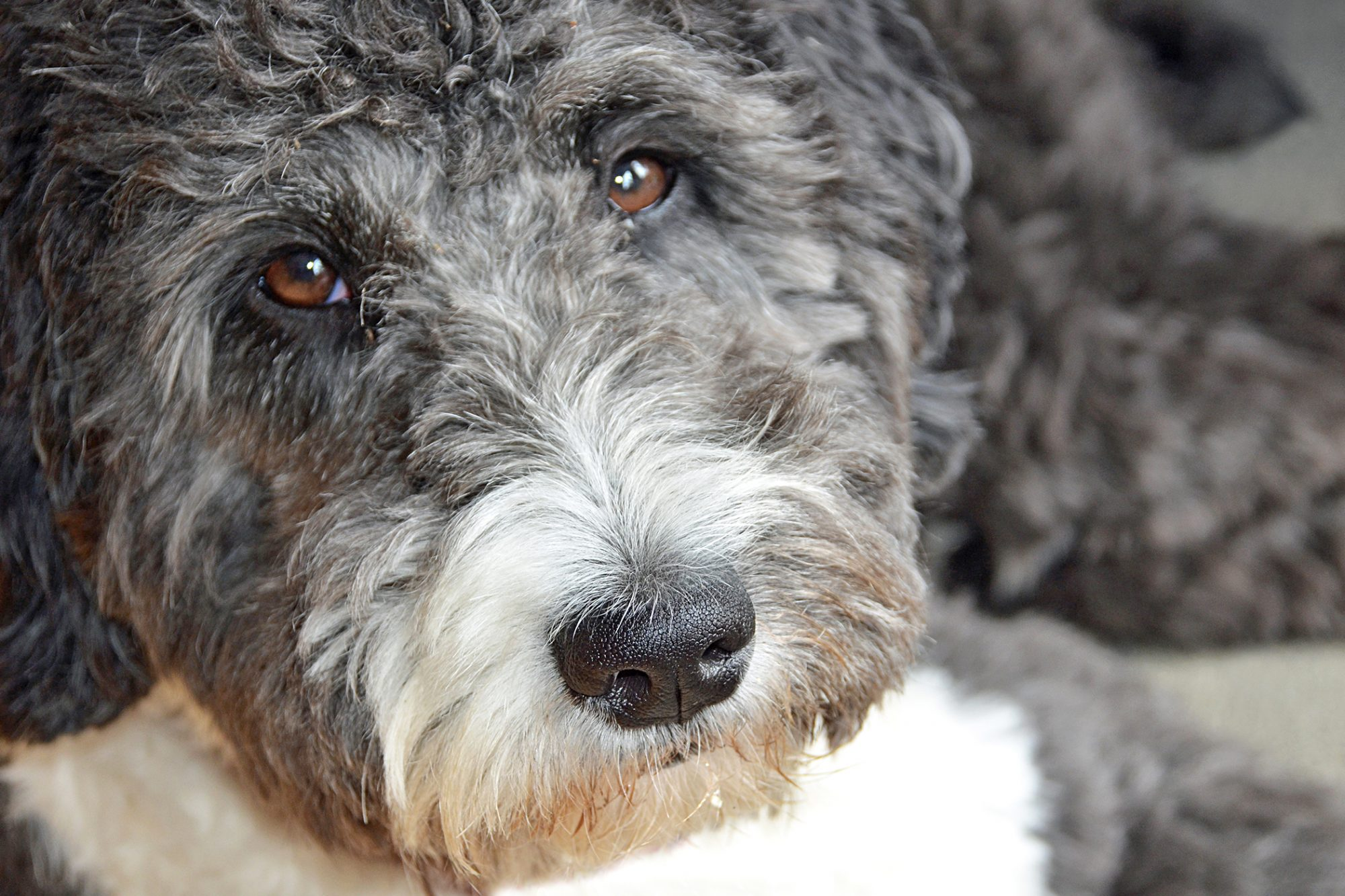 Close-up of charcoal and cream aussiedoodle